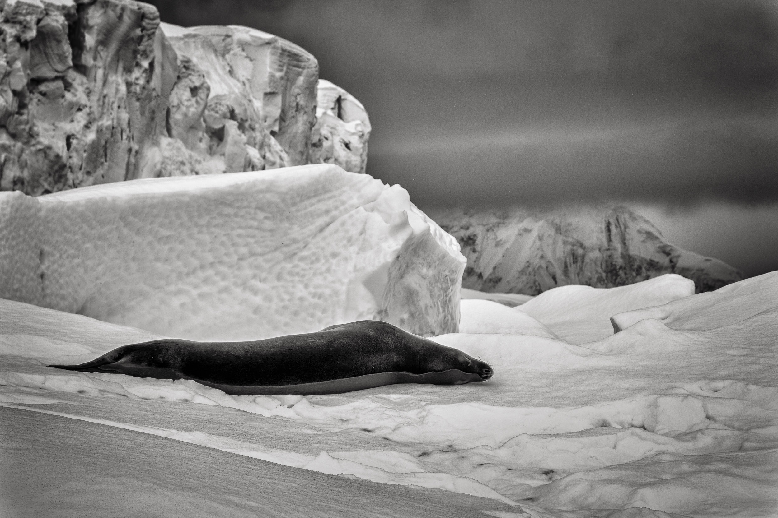 A    leopard seal    relaxes on a large ice sheet just off the coast of    Cuverville Island    in    Antarctica   .