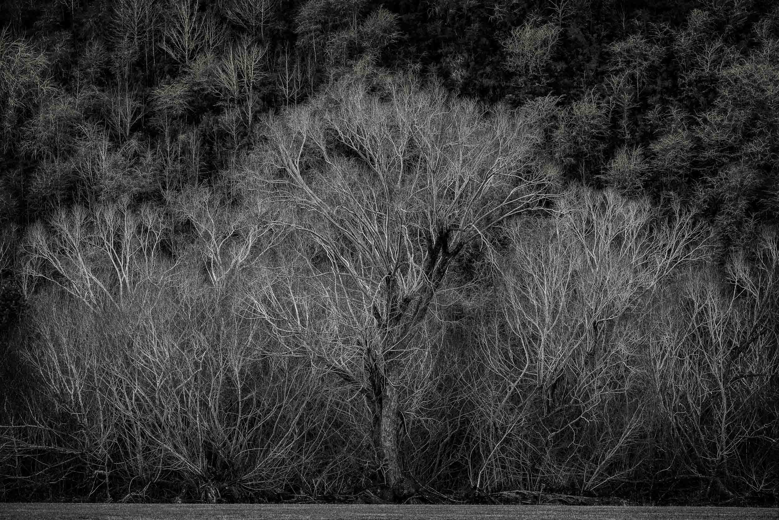 The    textural elements    within this    stand of winter trees    in rural    Otago, New Zealand    make for a lovely    study in composition   .