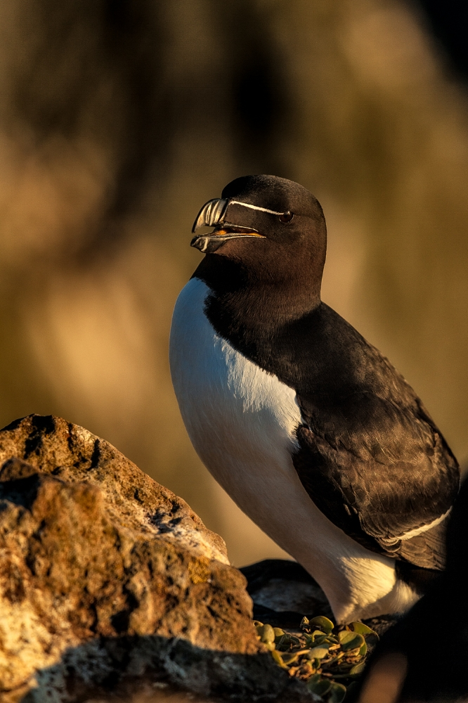 A    razorbill   , perched high on the    Látrabjarg cliffs    in    Iceland   , enjoying the warm light of sunset.