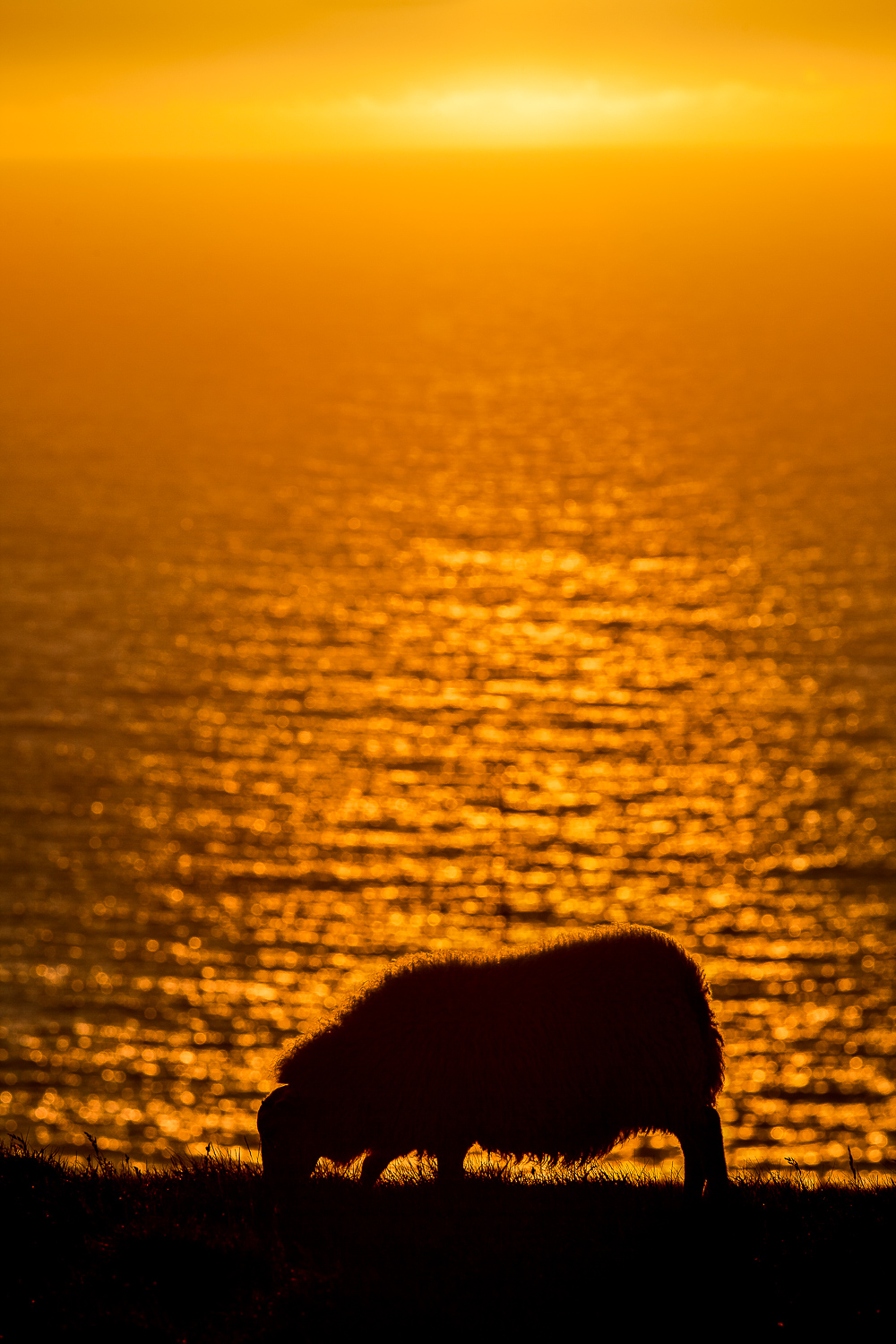 A  sheep calmly grazes  as a  magnificent sunset  sinks below the horizon on the  Látrabjarg Cliffs  in the western most part of  Iceland .