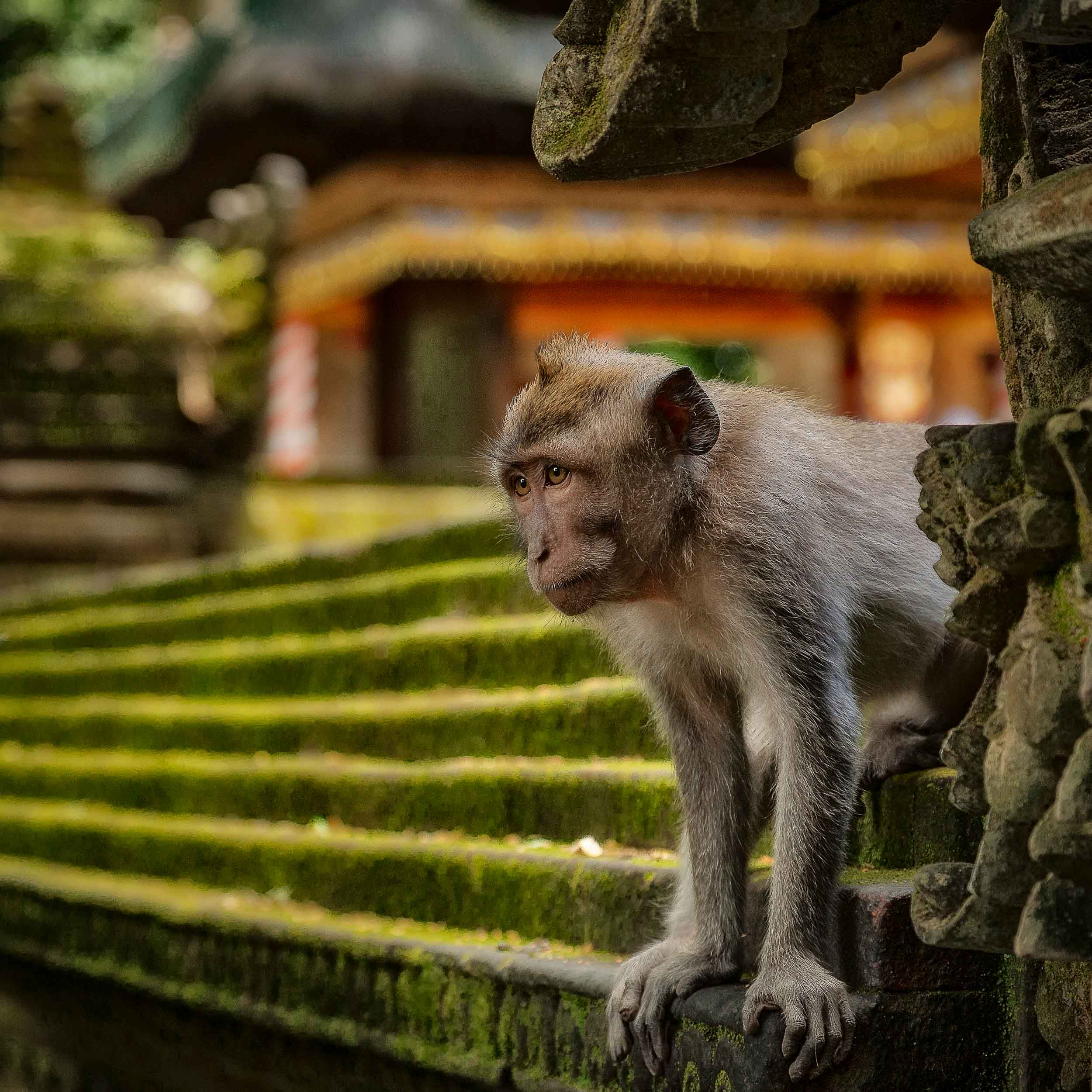 A    monkey looks out    prior to heading into the jungle at the    Monkey Forest    in    Ubud, Bali   .