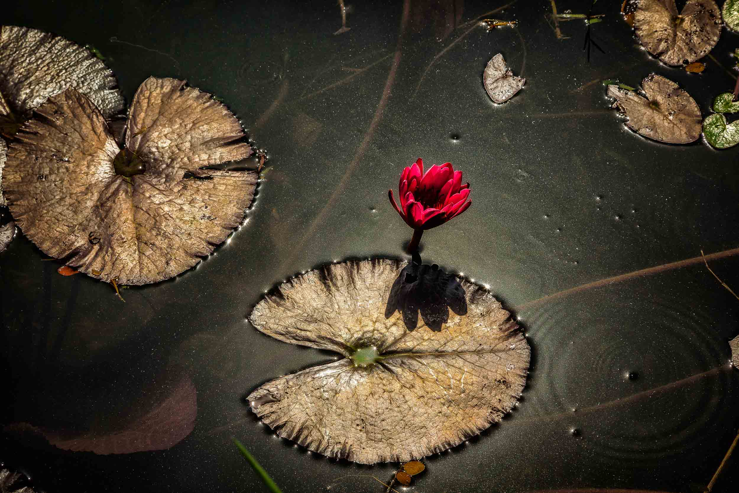 A  lotus flower  on a pond in the grounds of the  Kolkata Botanical Gardens  in  Kolkata, India .