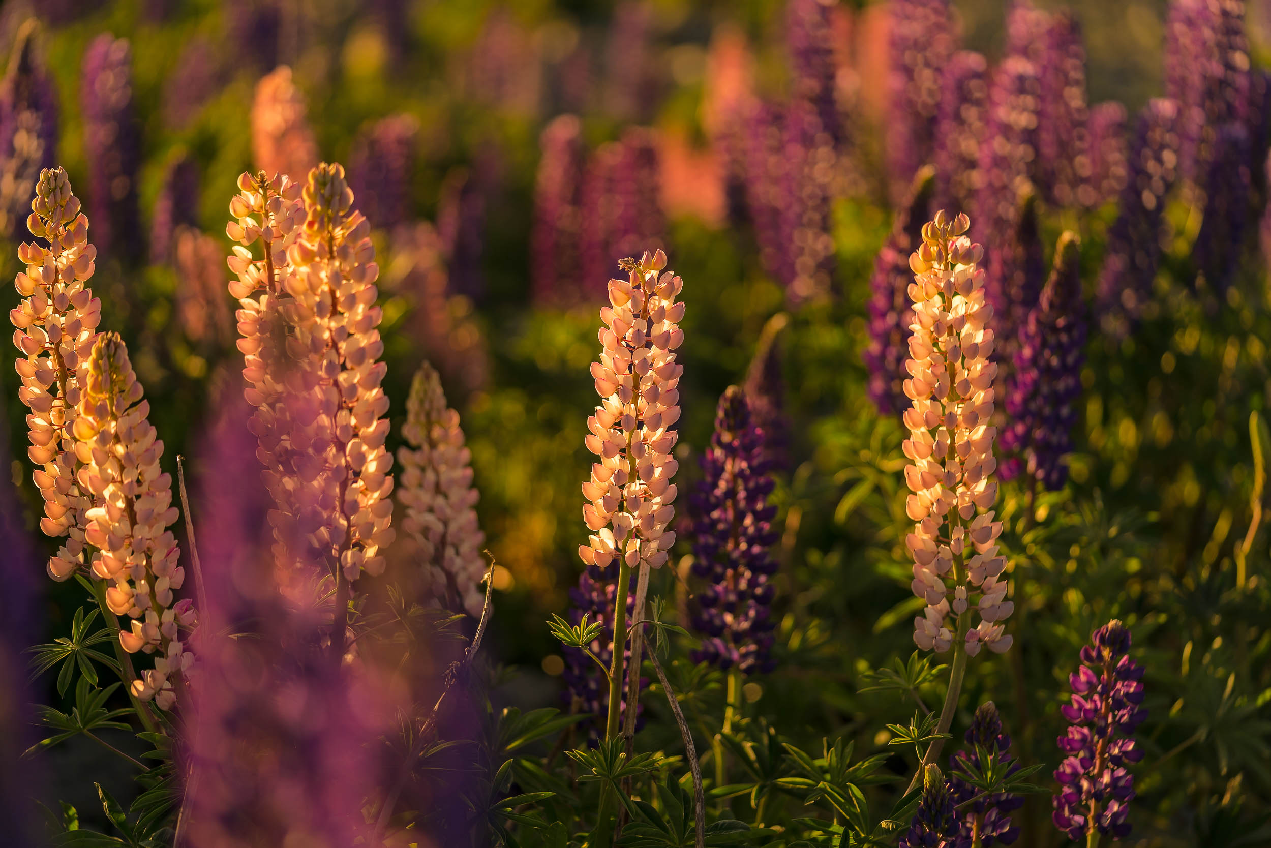 Lovely    lupins   , backlit by the    warm afternoon light    of a    spring day    at    Lake Tekapo    in    New Zealand   .
