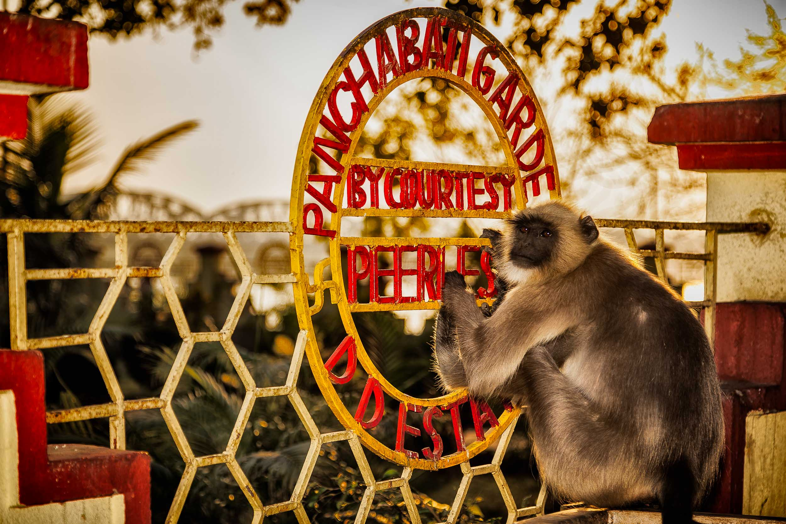 A    playful monkey    on a colorful fence at a shrine near the banks of the    Hooghly River    in    Kolkata, India   .
