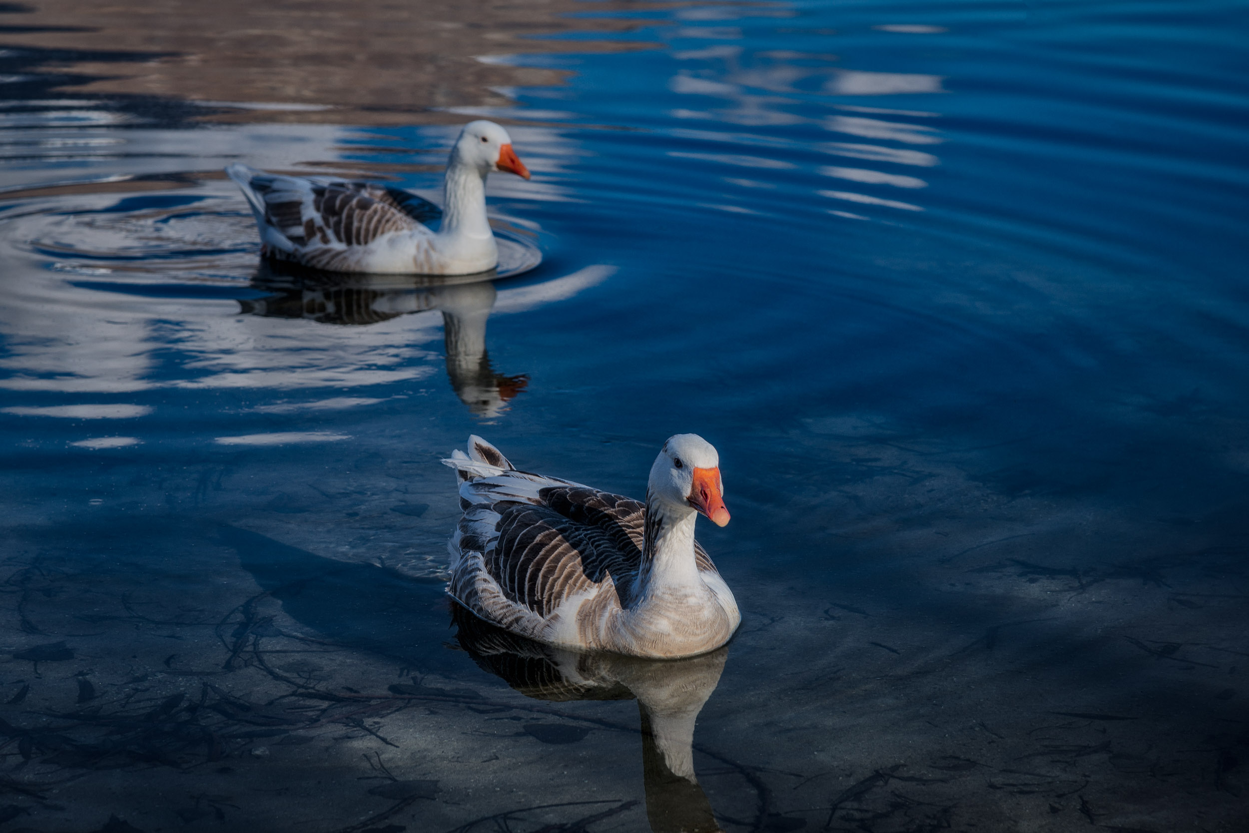 A    pair of ducks   , moving in for a closer look, on    Lake Hayes    near Arrowtown,    New Zealand   .