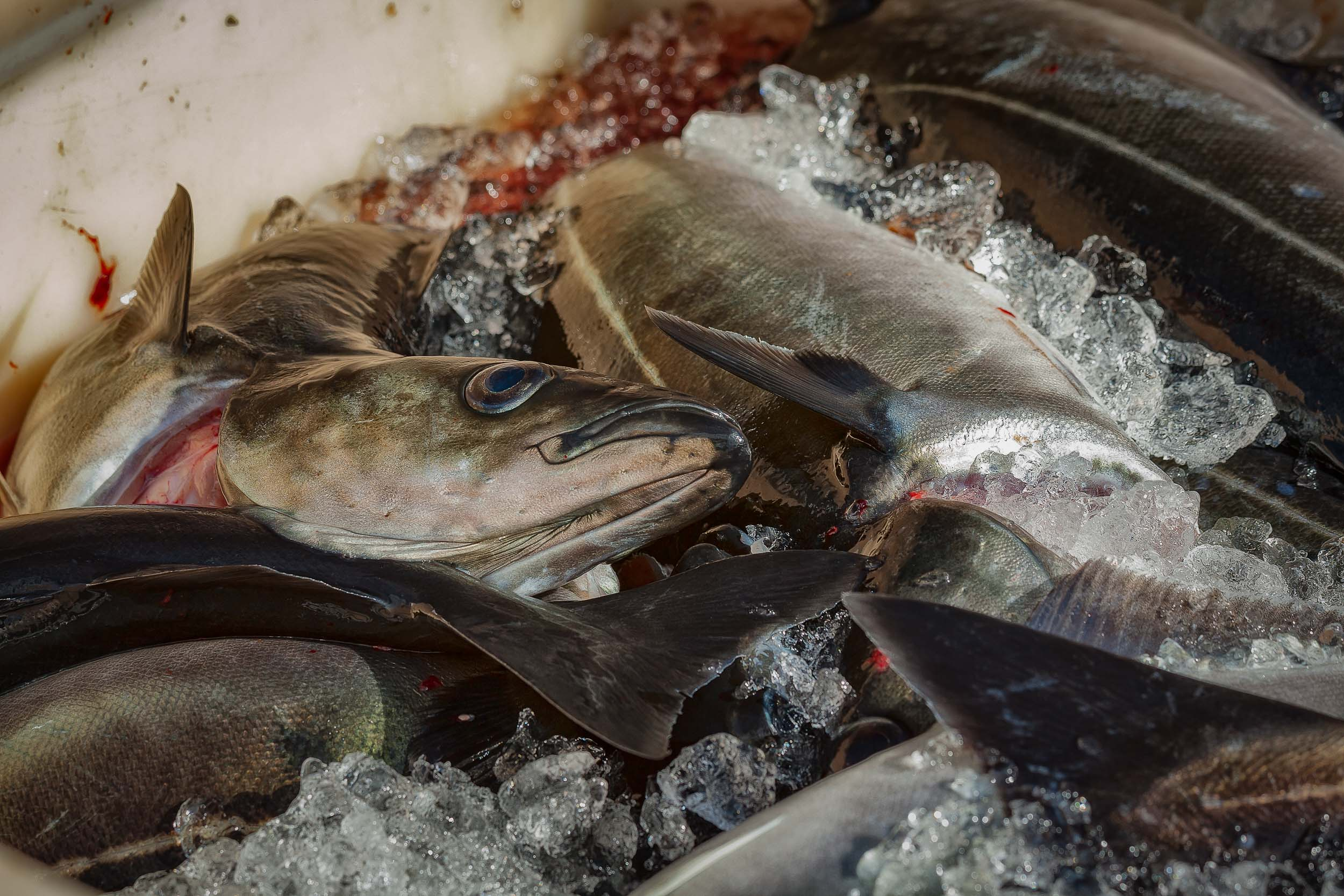 A close up of    freshly caught fish    in the seaside village of    Húskavík    in northern    Iceland   .