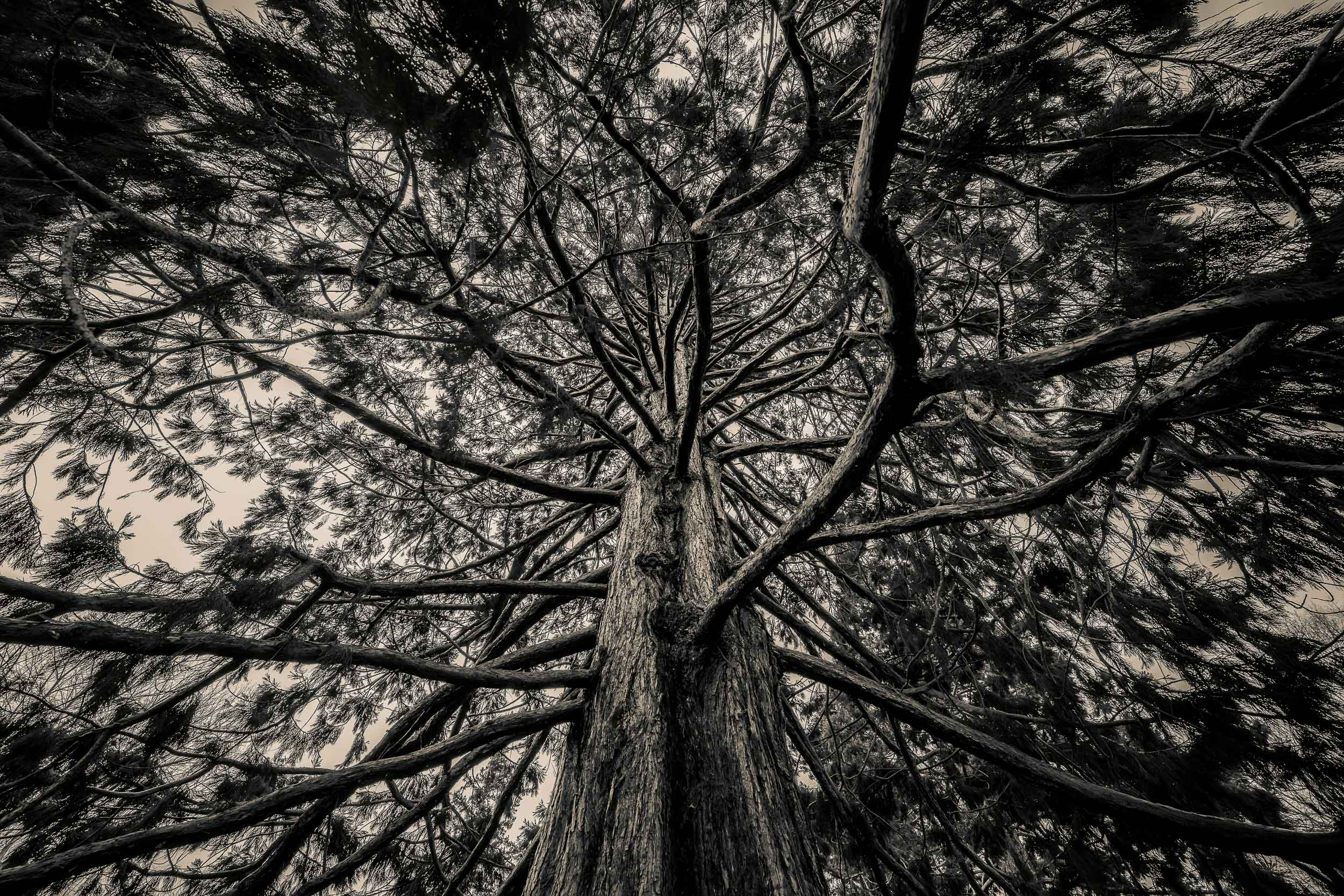 An upward view onto a    huge, wind blown tree    in the    Queenstown Gardens    in the city of    Queenstown, New Zealand   .