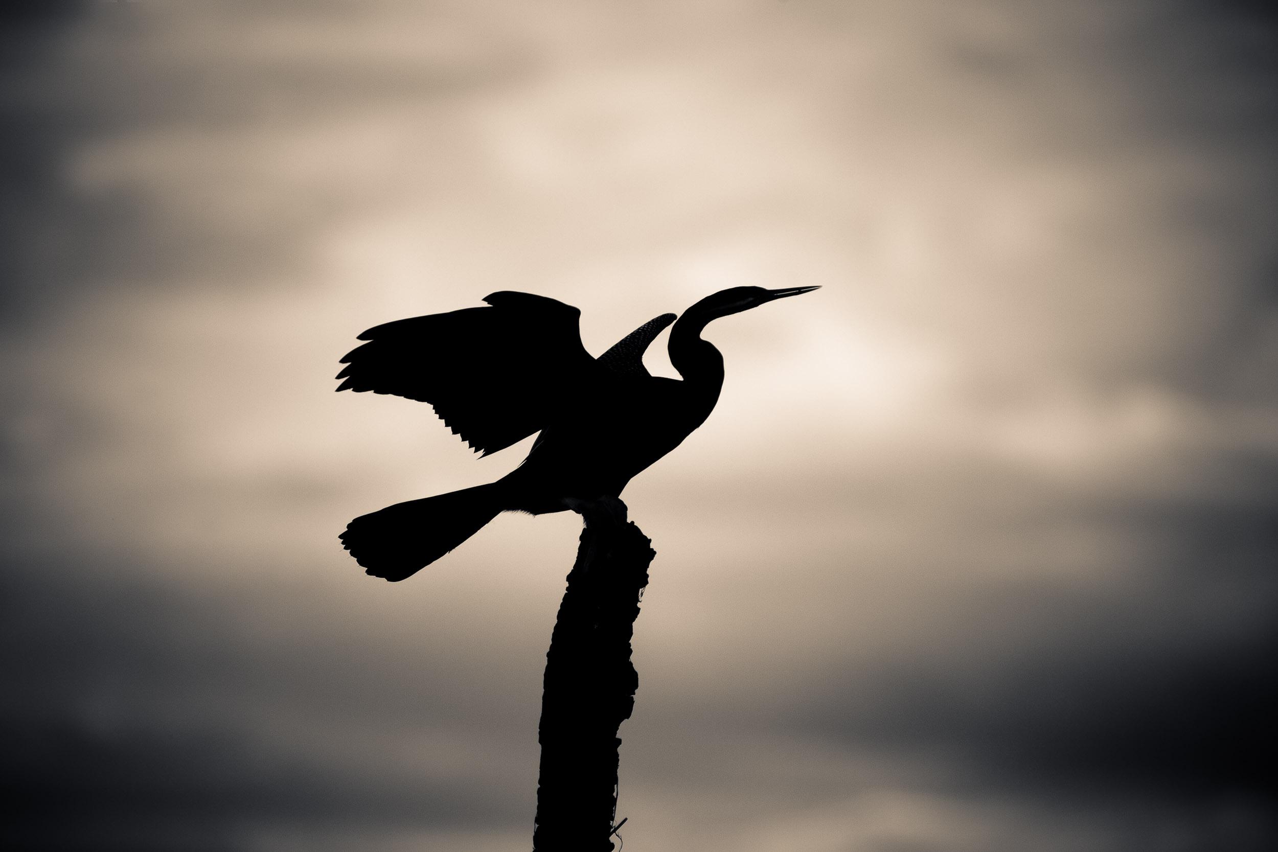 A    Darter    bird in silhouette,    Kakadu National Park   ,    Australia   .
