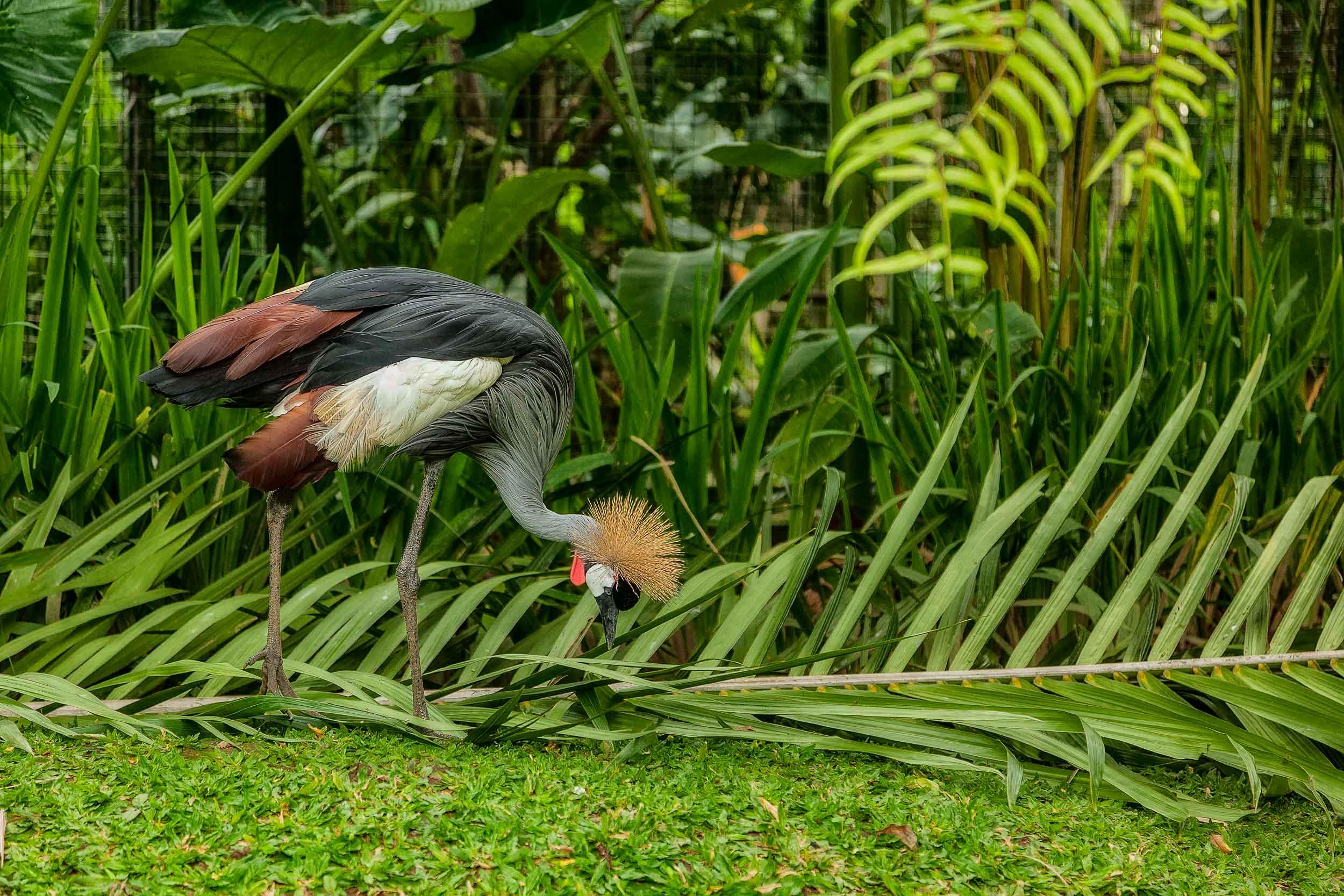 A colorful bird feeding at the    Bali Zoo    near Ubud in    Bali, Indonesia   .