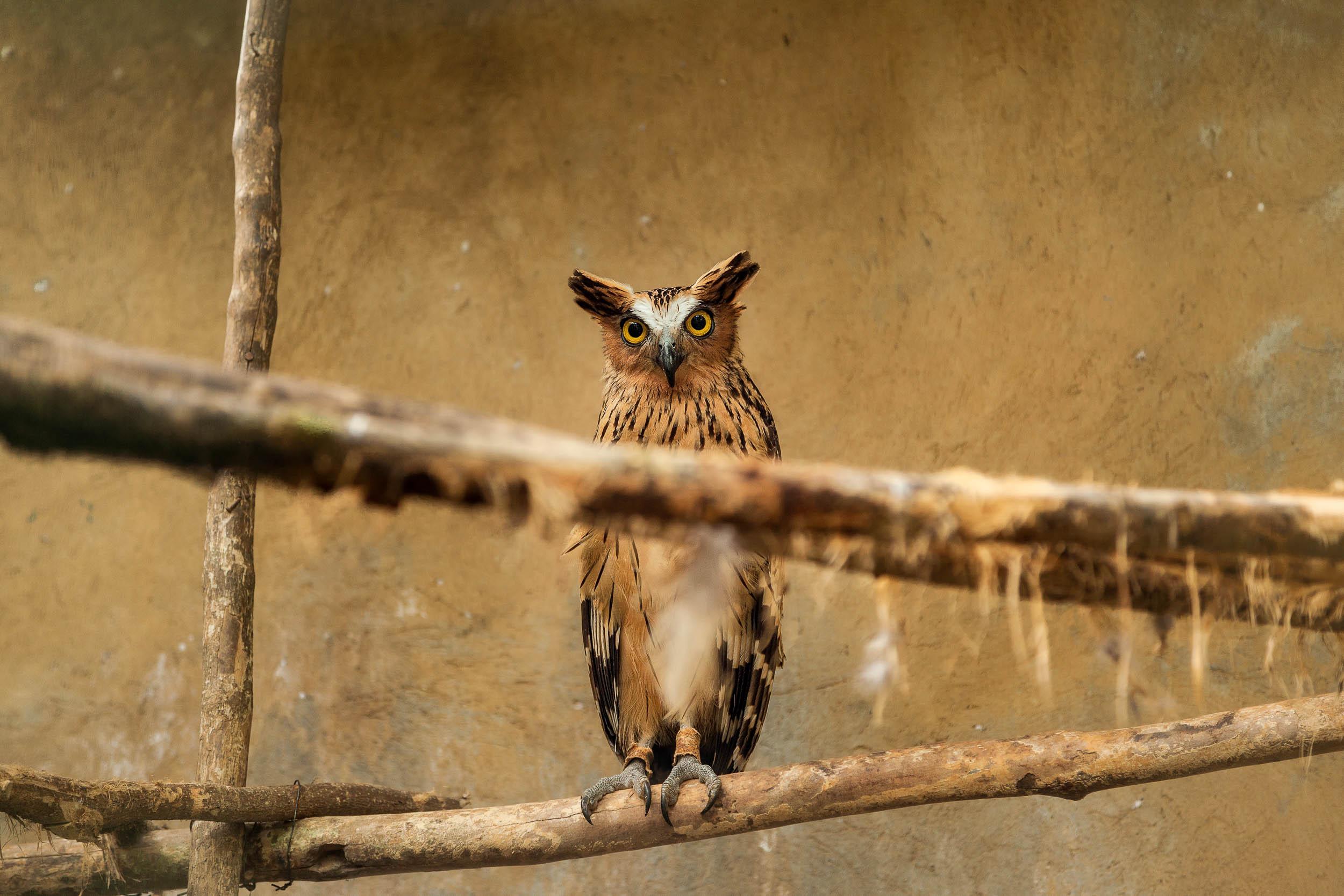 Buffy Fish Owl    at the    Bali Zoo    near Ubud in    Bali   .