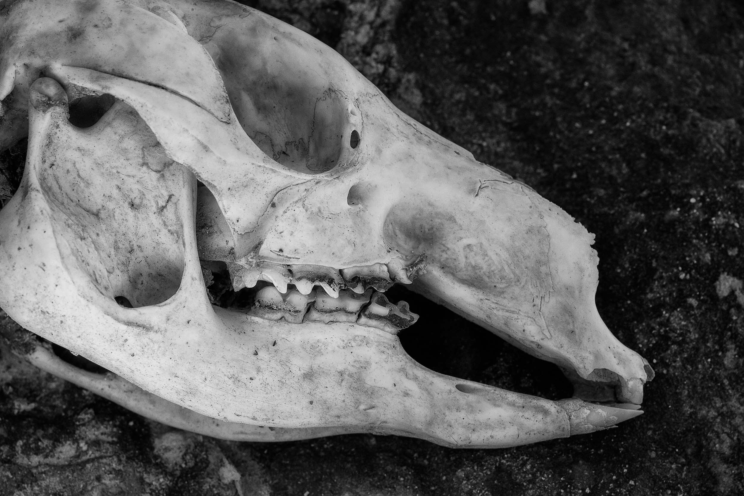 I photographed this    wallaby skull    in an abandoned mine near the town of    Chewton    in Victoria,    Australia   .