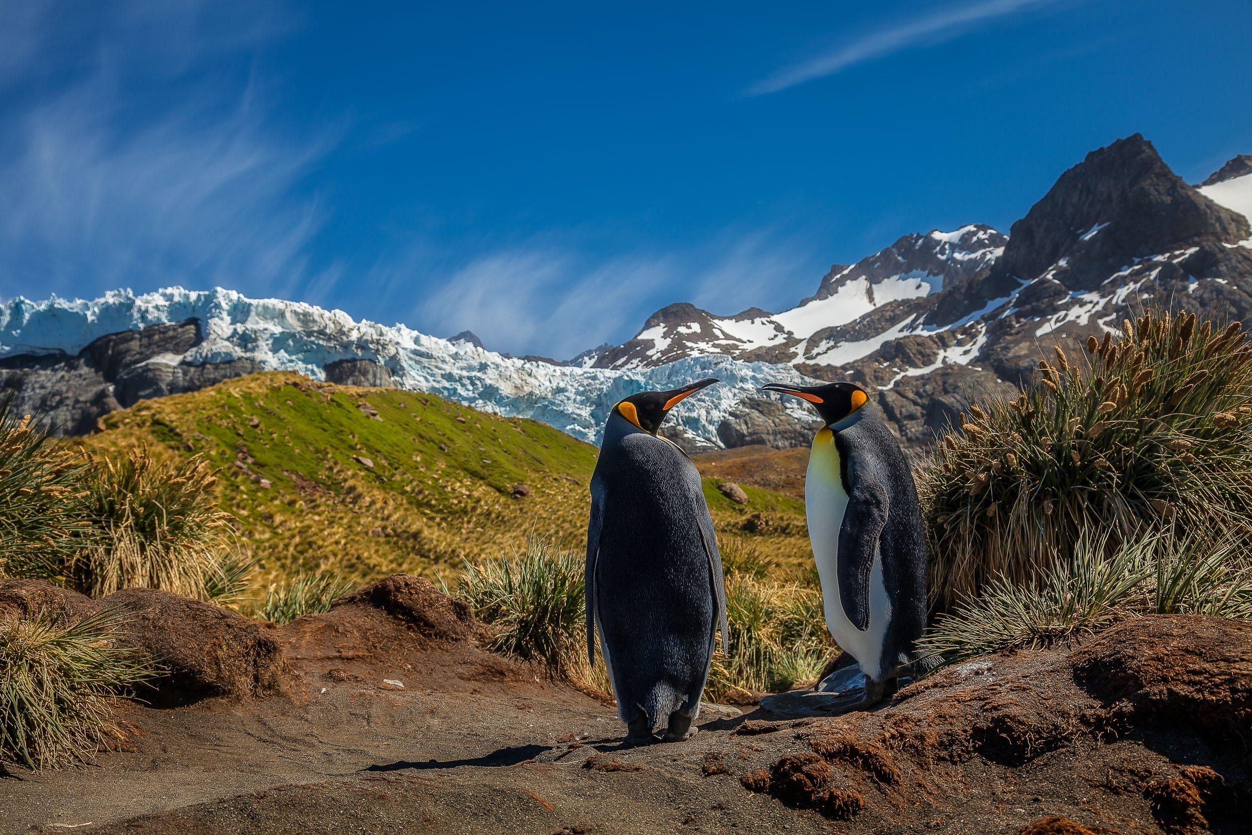 Two    King penguins    hanging out on a    summer's day    on the spectacular    South Georgia Island   .