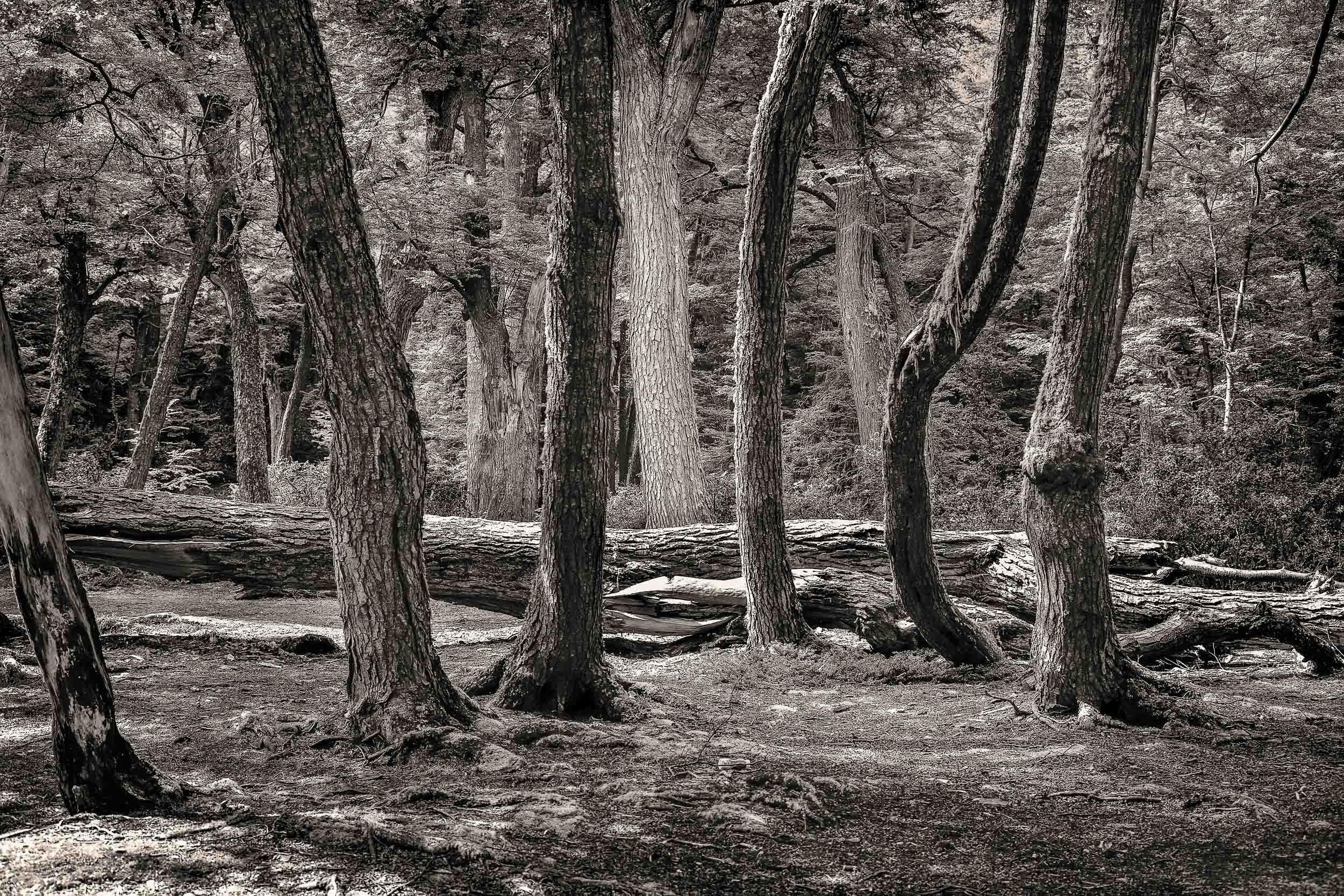 A    stand of trees    in a forested area on the shores of the sea in    Tierra del Fuego National Park, Argentina   .