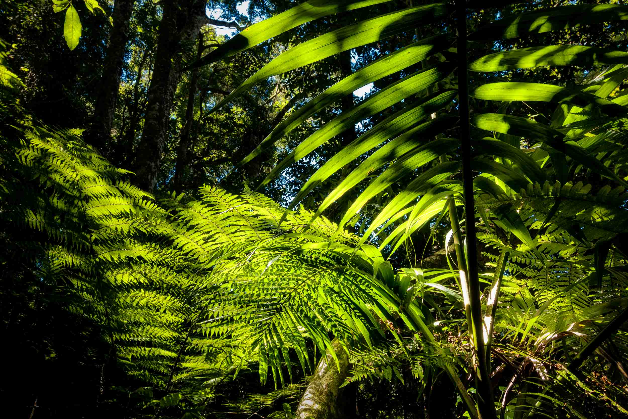 Strong backlight illuminates    tree ferns    and foliage on    Mount Tamborine, Queensland   .