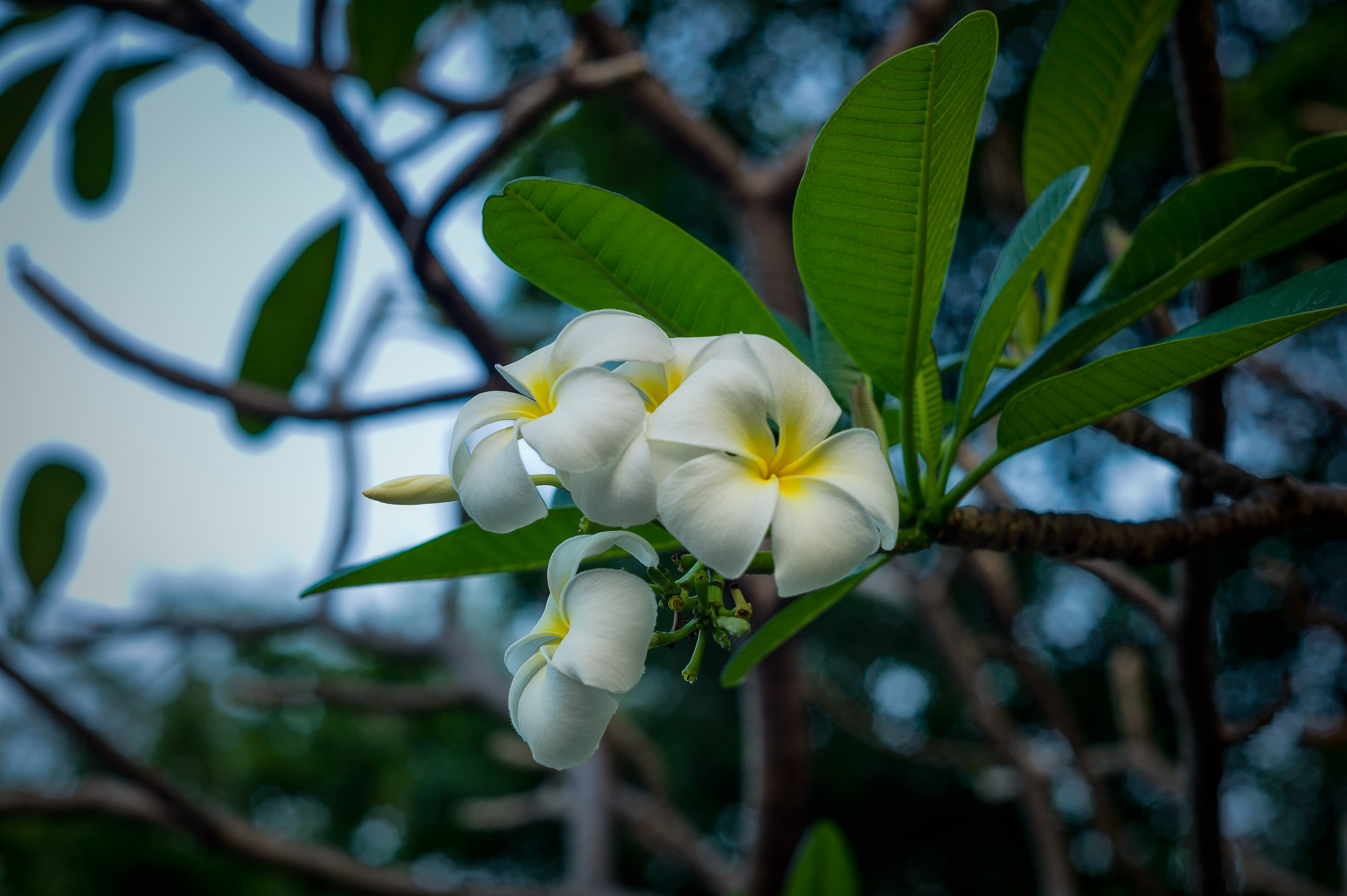 A flower at dusk in    Lumphini Park    in the centre of    Bangkok, Thailand   .