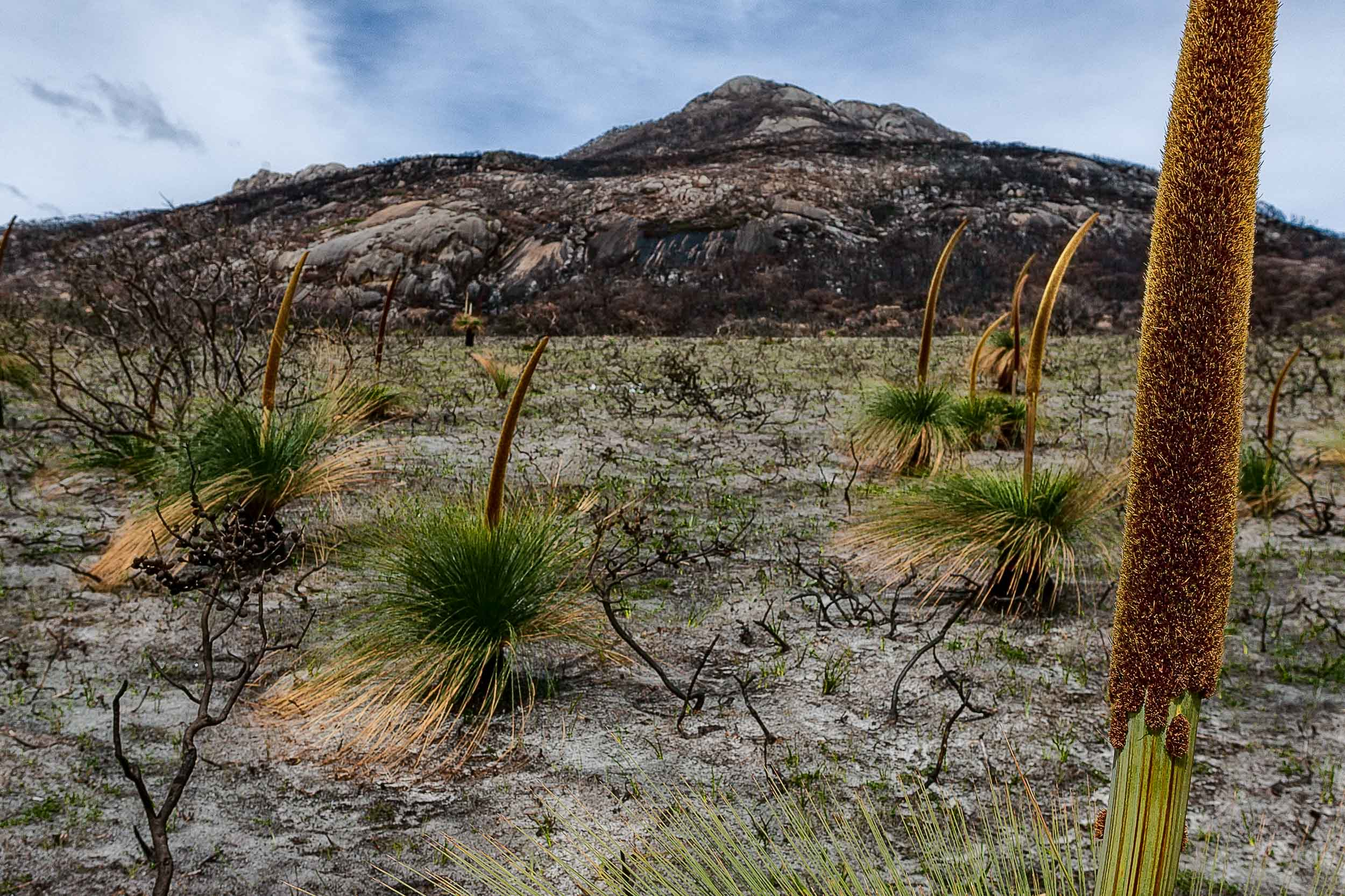New plant growth following a    devasting fire    at    Wilsons Promontory National Park    in    Australia   .