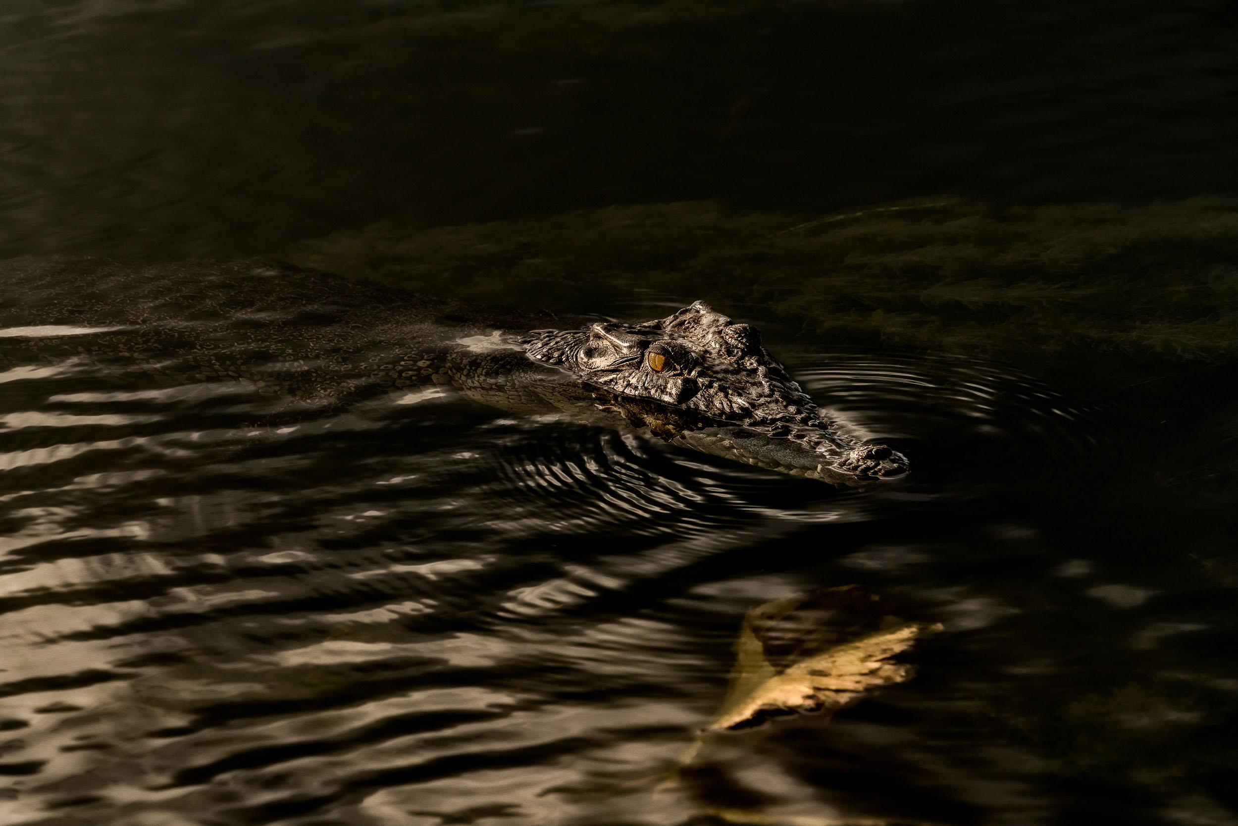 An    inquesitive crocodile    in the    Yellow Waters Billabong   , Kakadu National Park, Australia.