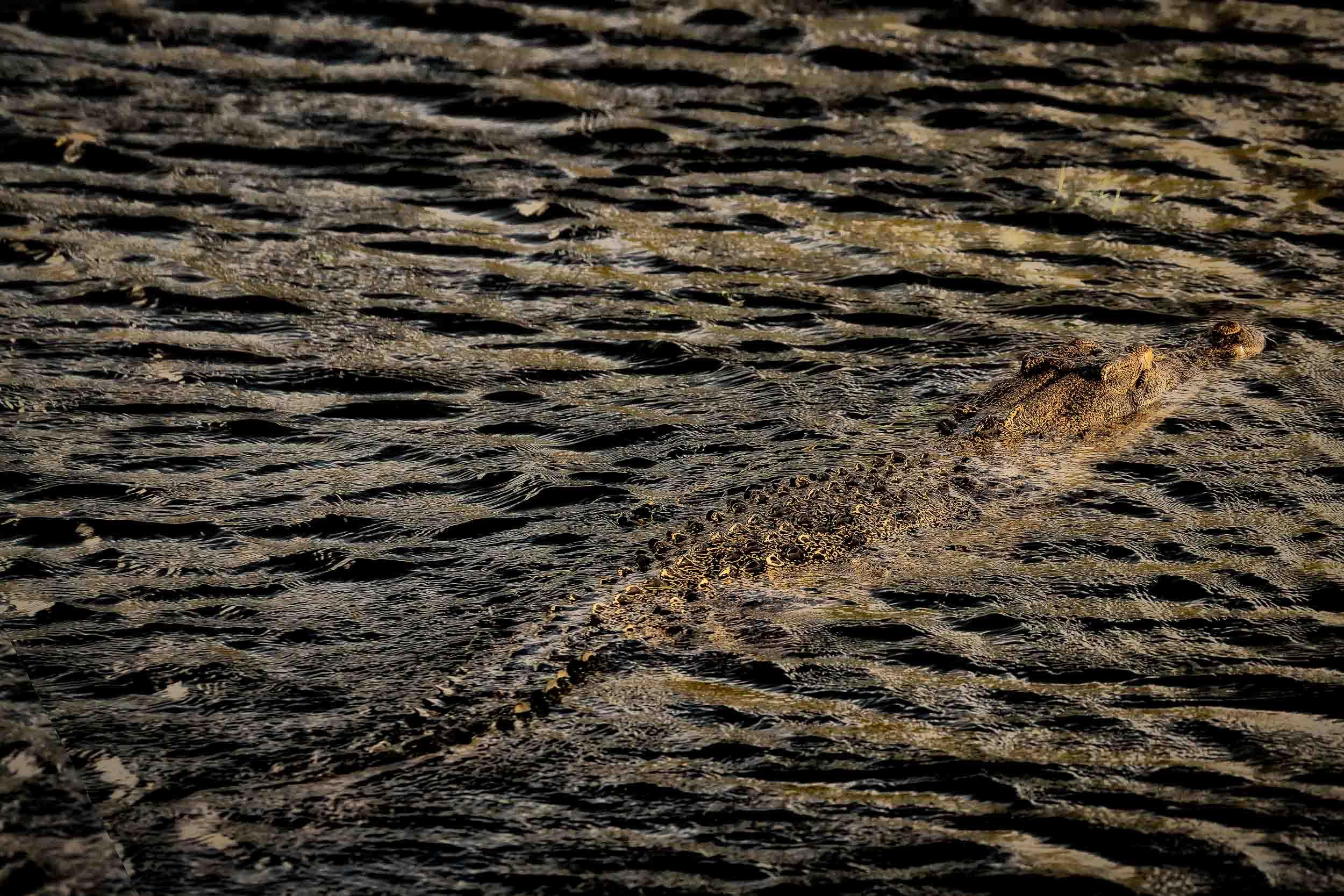 A    saltwater crocodile   , at sunset, ambling along in the    Yellow Waters Billabong    in Kakadu National Park,    Australia   .
