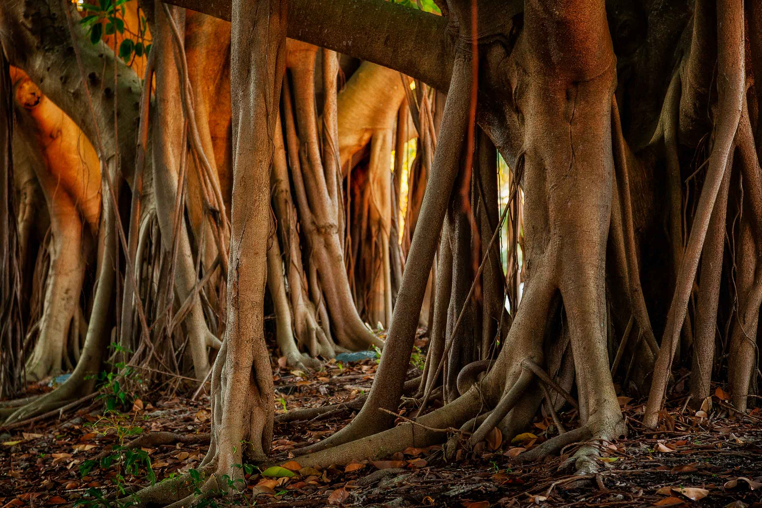 Exposed    tree roots,    photographed under    dappled light   , make for a graphic image in    Surfers Paradise   , Australia.