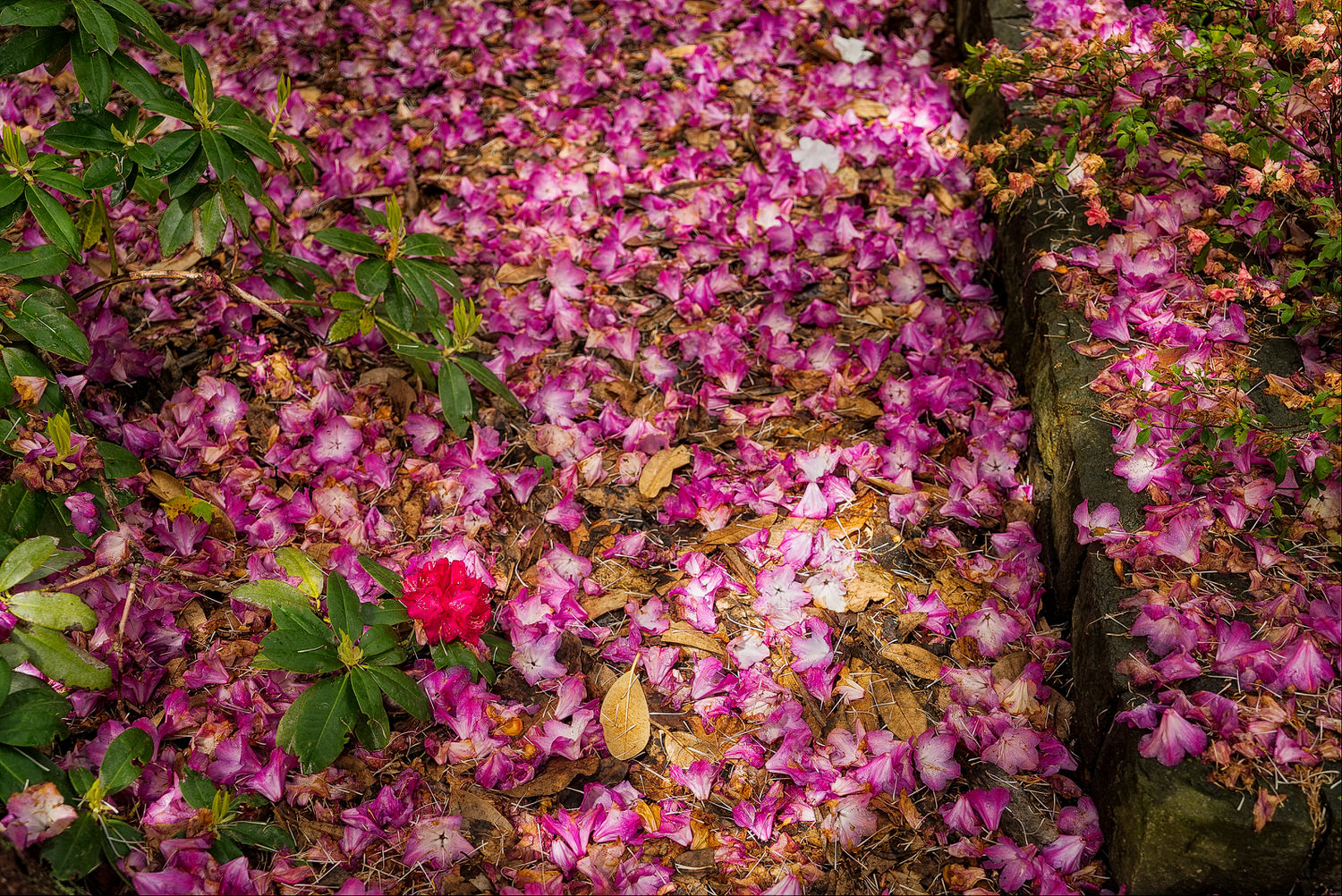 Fallen flower petals    carpet the ground in color in the    Christchurch Botanical Gardens    in Christchurch, New Zealand.