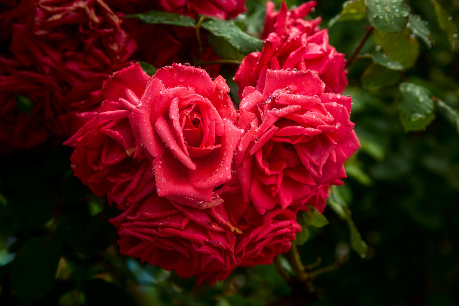 Rain drops on red roses    in the lovely    Mirabell Gardens    in    Salzburg, Austria   .