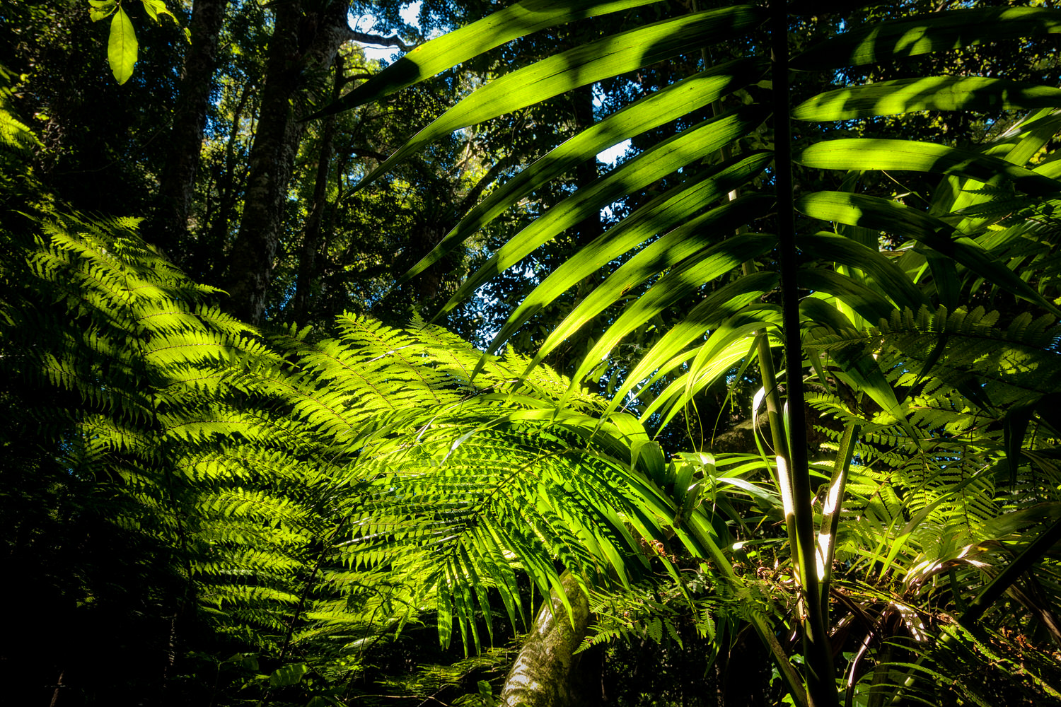 Strong    backlight    illuminates    tree ferns    and foliage on    Mount Tamborine    in Queensland, Australia.