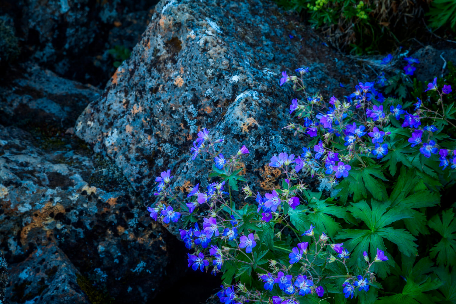 Colorful    wildflowers    growing alongside volcanic rock at    Thingvellir    in    Southern Iceland    on a lovely summer day.