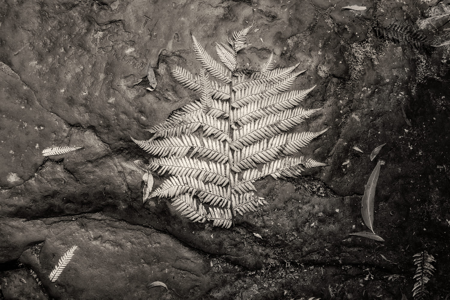 A lovely, silvery detail of a    fern   , rendered into black and white, near the base of the    Erskine Falls    in the    Great Otway National Park    near Lorne, Australia.