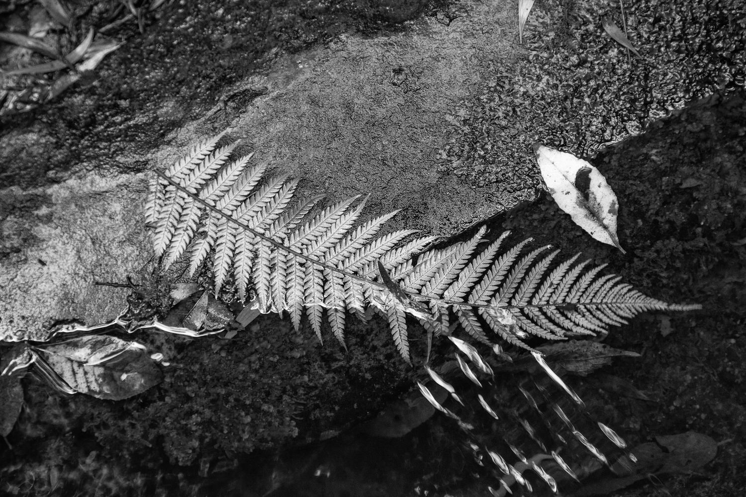 A close-up image of a    fern    by the banks of the    Erskine River    near Lorne, Australia.