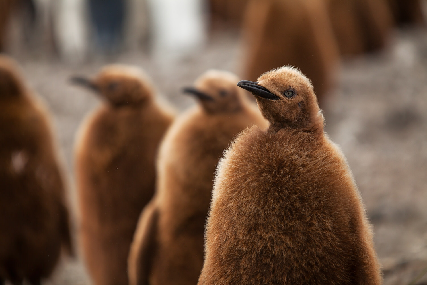 Hungry    King penguin chicks   , awaiting the return of their parents, on the beach near Salisbury Plain on    South Georgia Island   . A shallow depth of field encourages the viewers attention back to the primary subject.