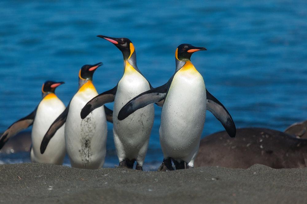 Penguin Patrol, South Georgia Island