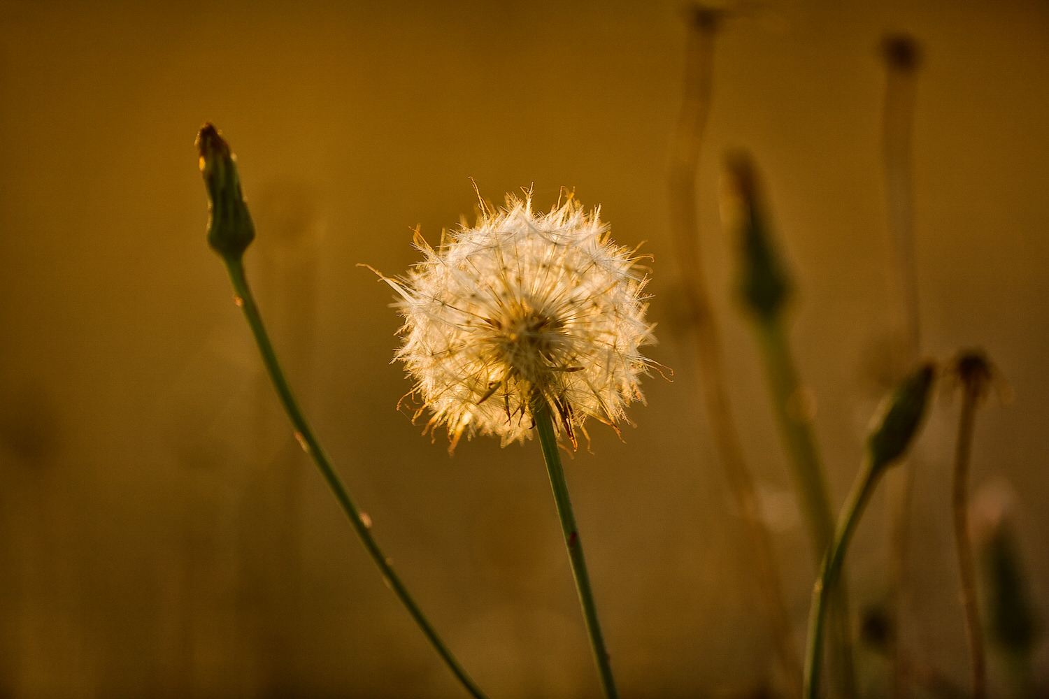 A    dandelion   , backlit by a warm sunset, by the banks of    Barkers Creek Reservoir    in    Harcourt   , Australia.