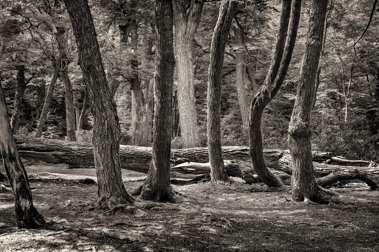 A stand of    trees in a forest    near the shores of the sea in the    Tierra del Fuego National Park   , Argentina.