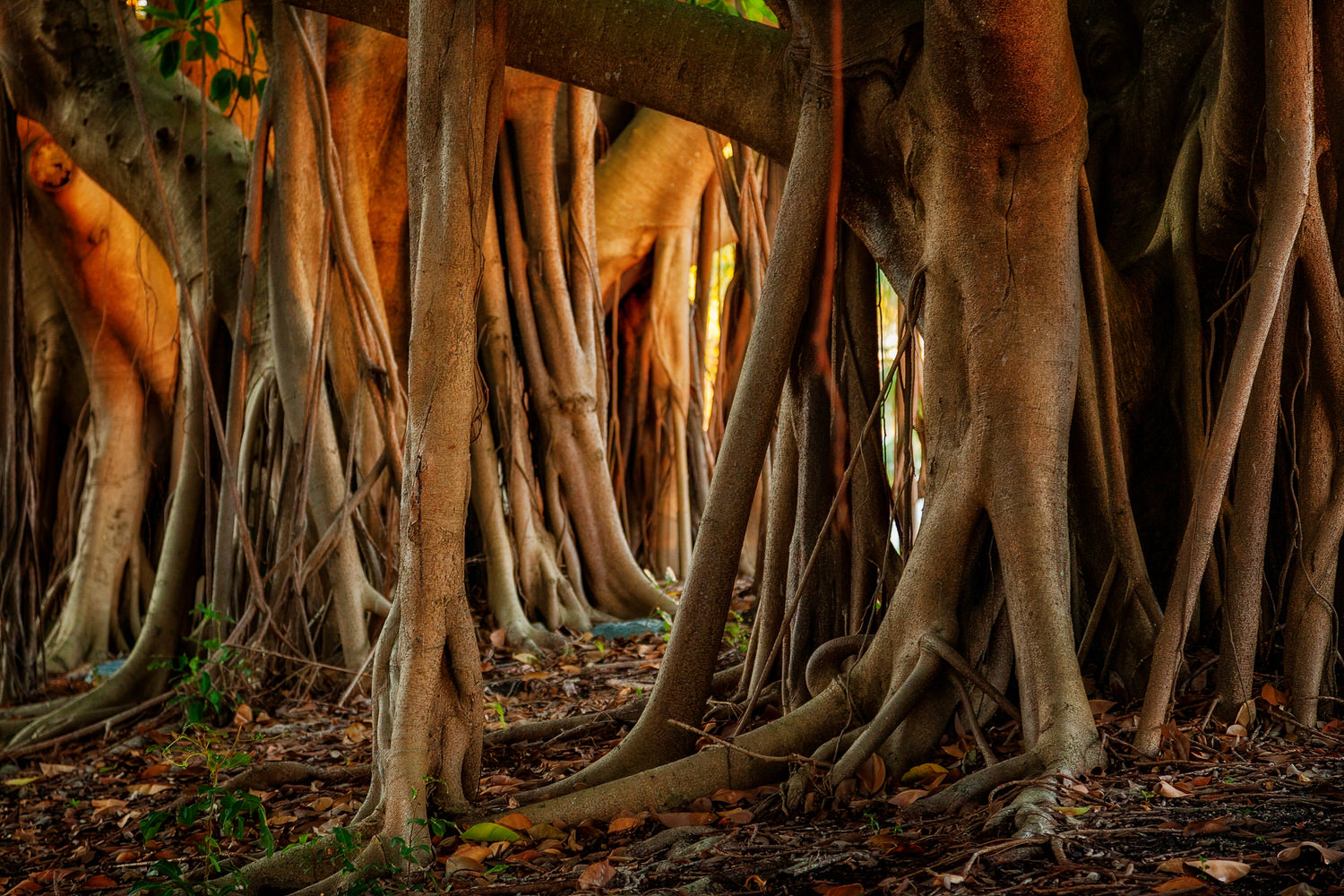 Exposed  tree roots , photographed under dappled light, make for a graphic nature based image in  Surfers Paradise  on Australia's  Gold Coast .