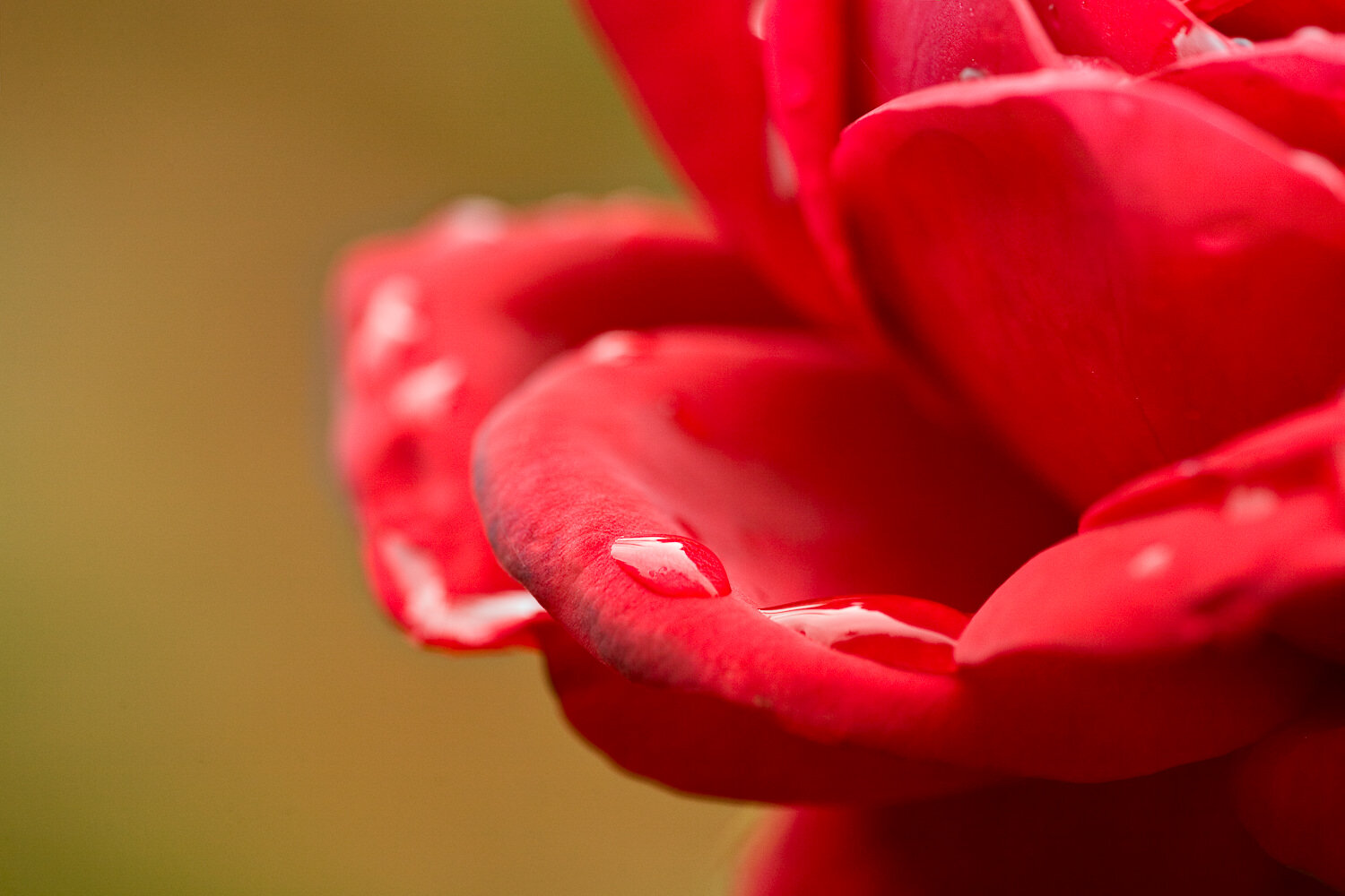 Extremely    shallow depth of field    featuring rain drops on a red rose.