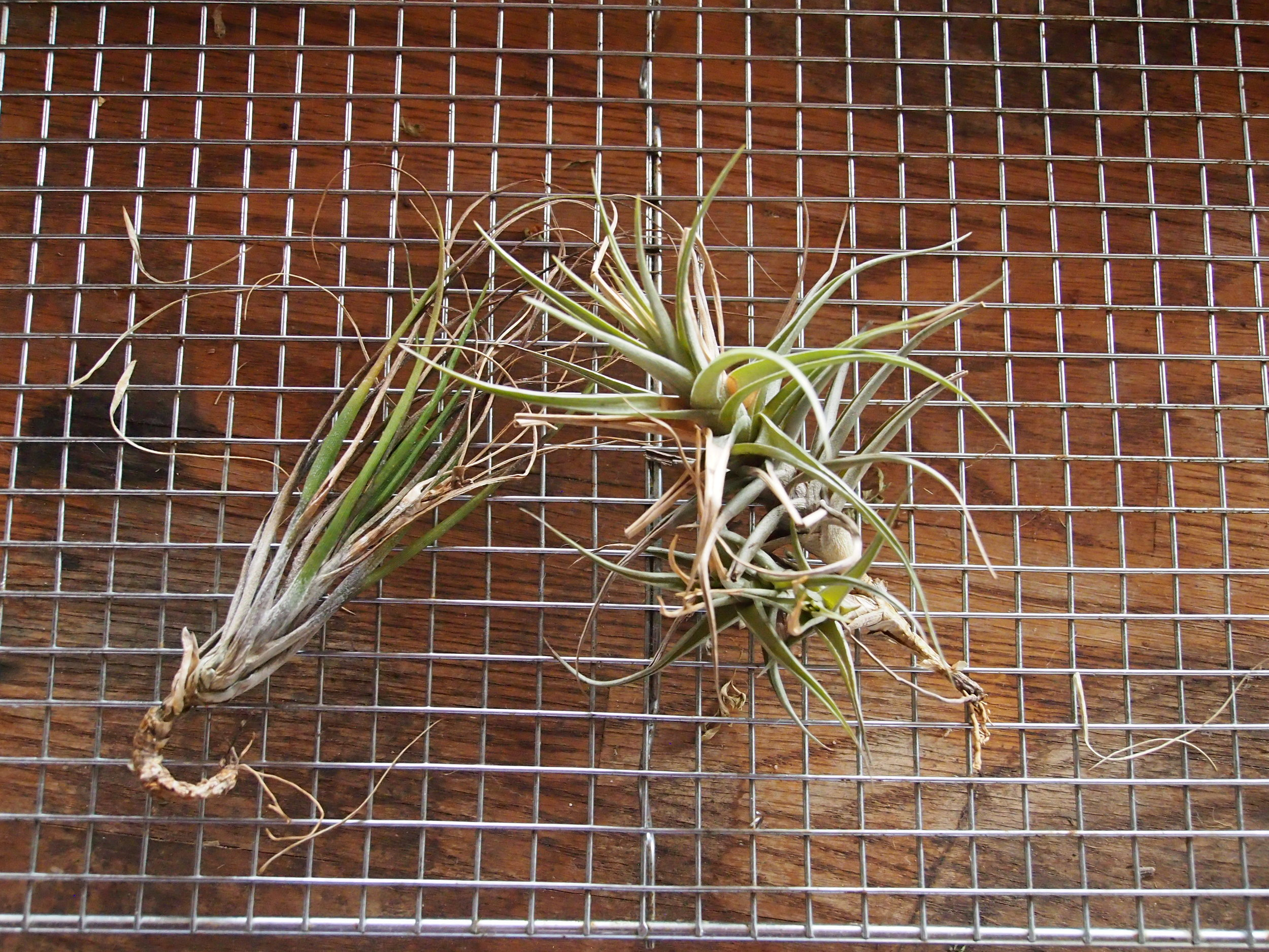 Scholium-Wines-Abe-Schoener-Air-Plants.jpg