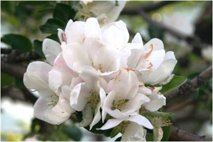 water-works-apple-blossom