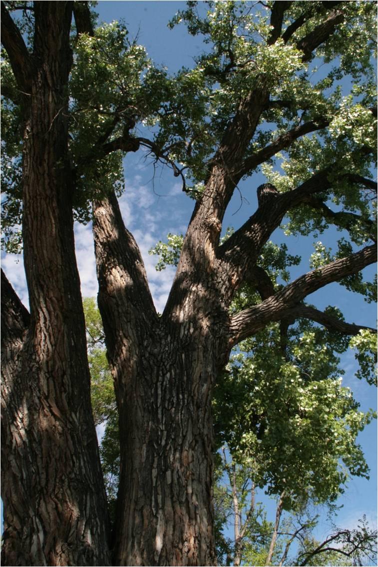water-works-cottonwood-tree