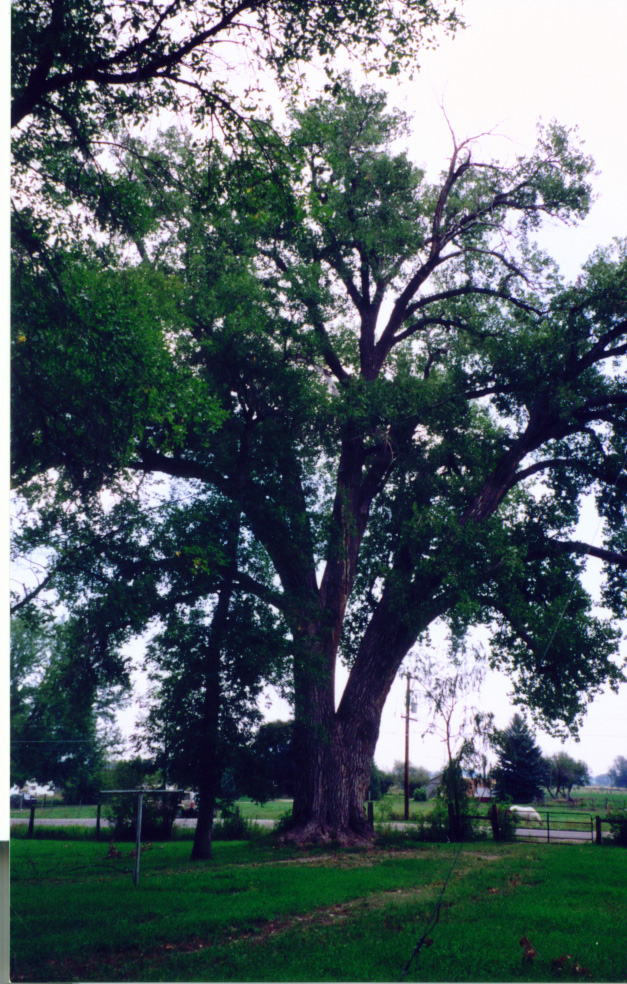 Larimer County's 2nd-largest cottonwood tree is on the Water Works grounds.