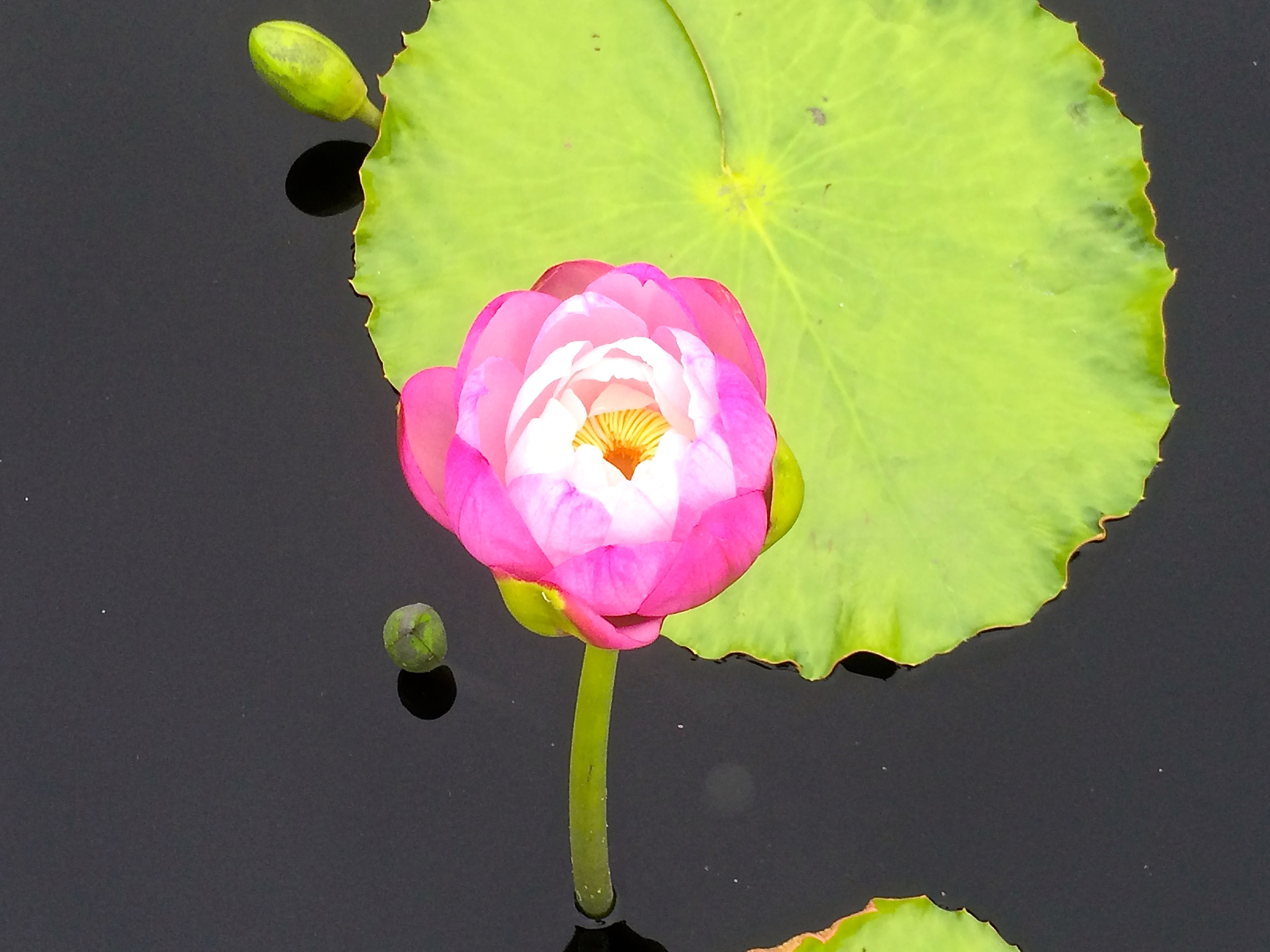 Water Lily, New Orleans