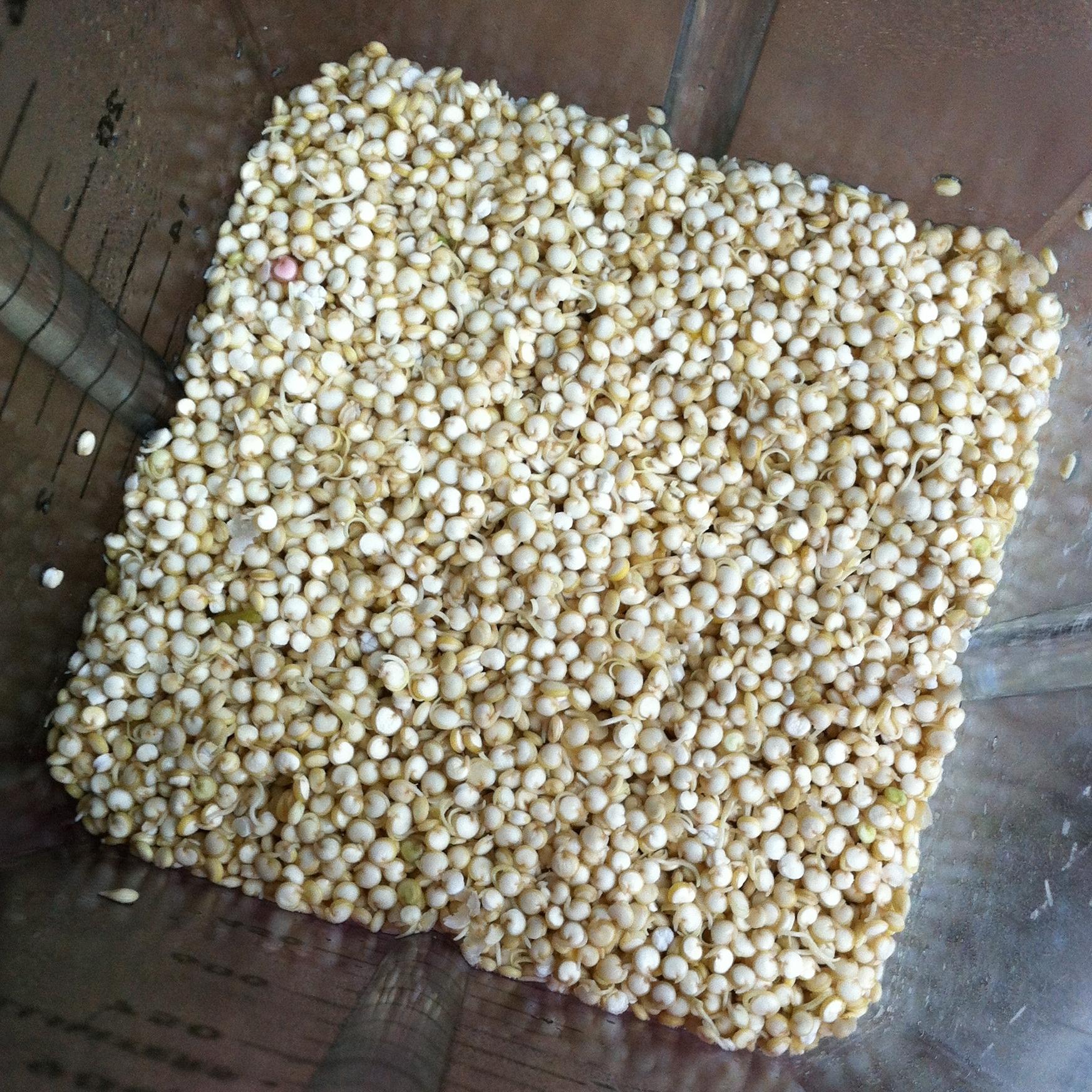 Sprouted Quinoa