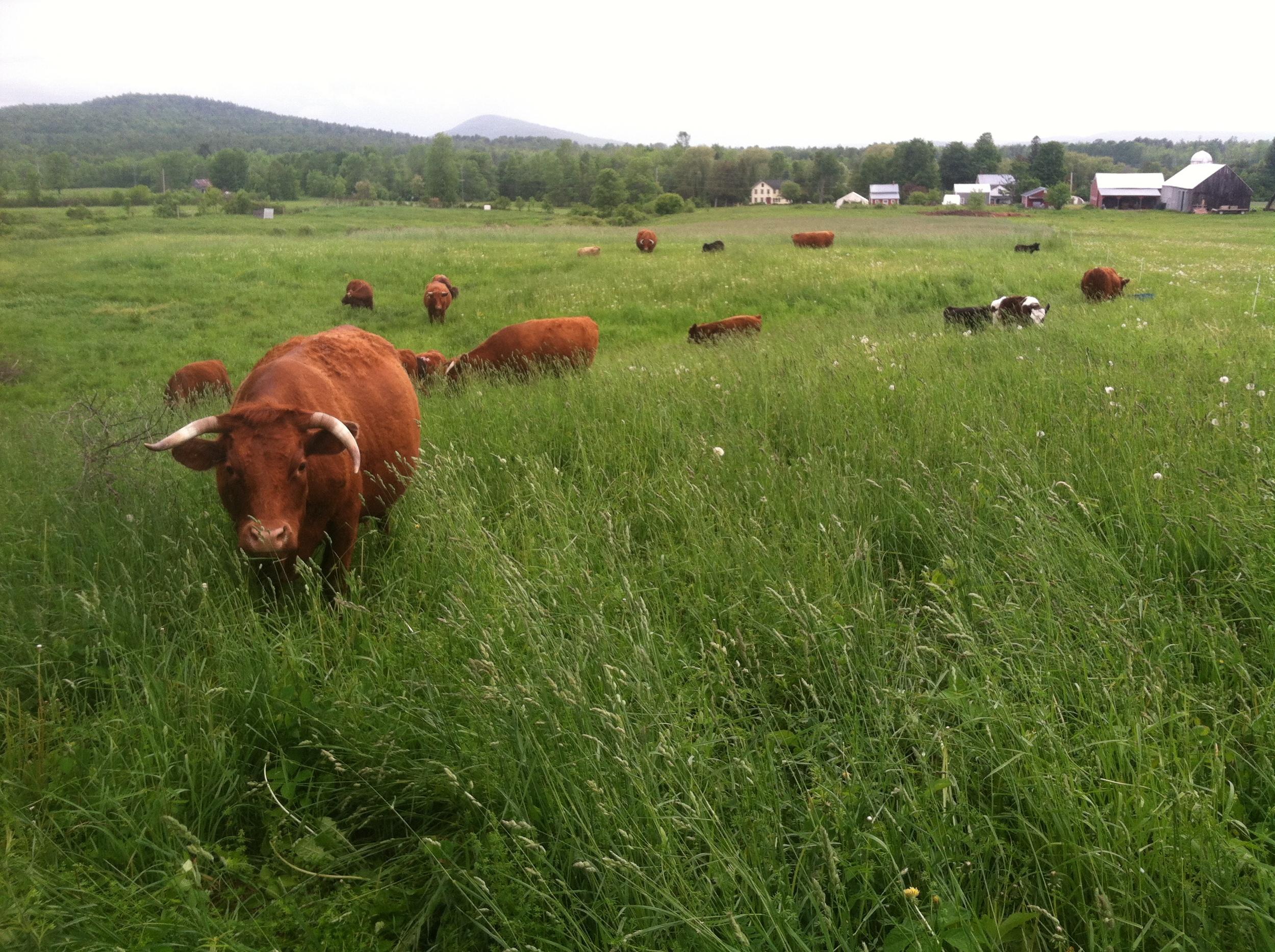hi cow.jpg