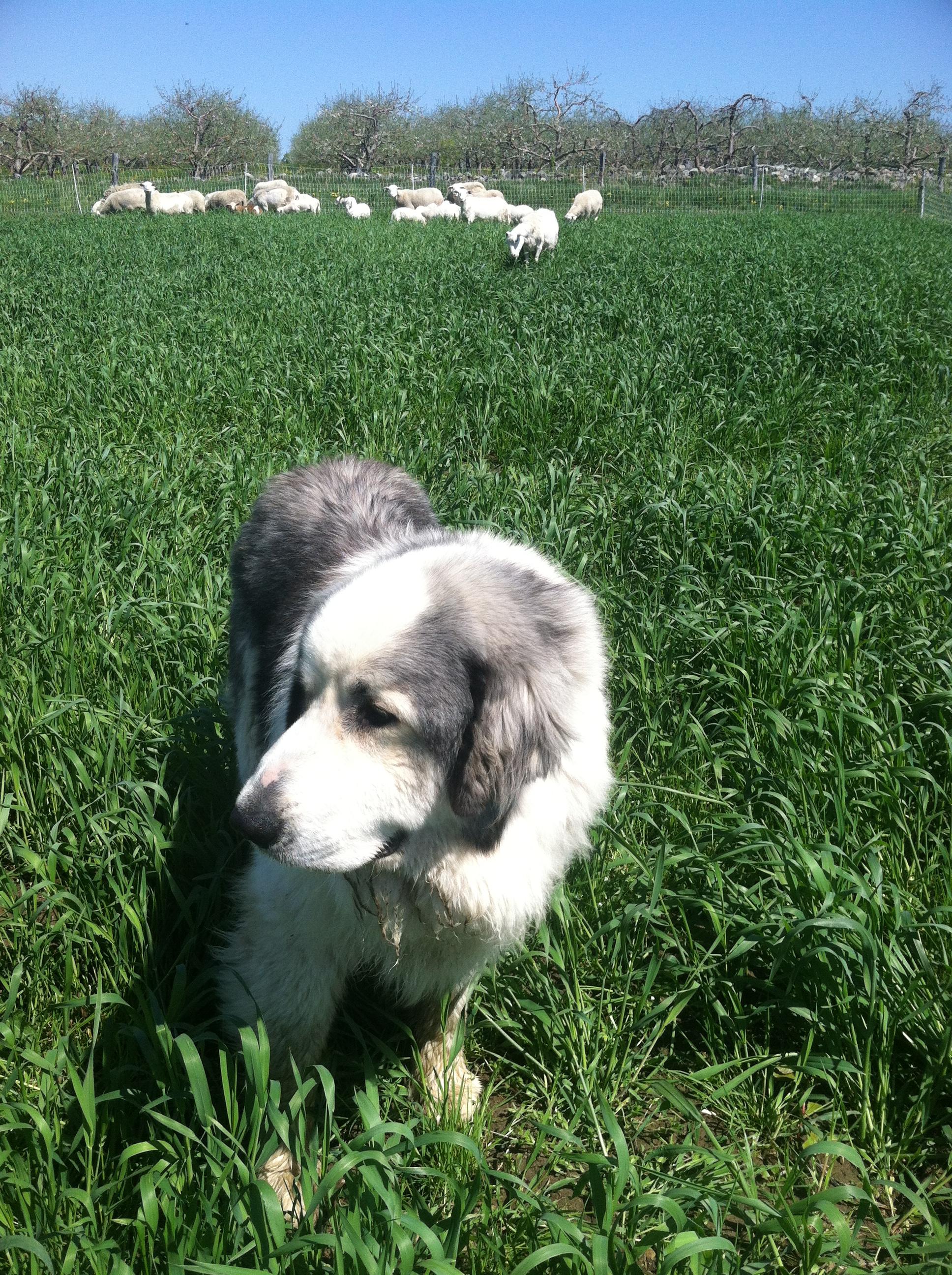 sheep & dog.jpg