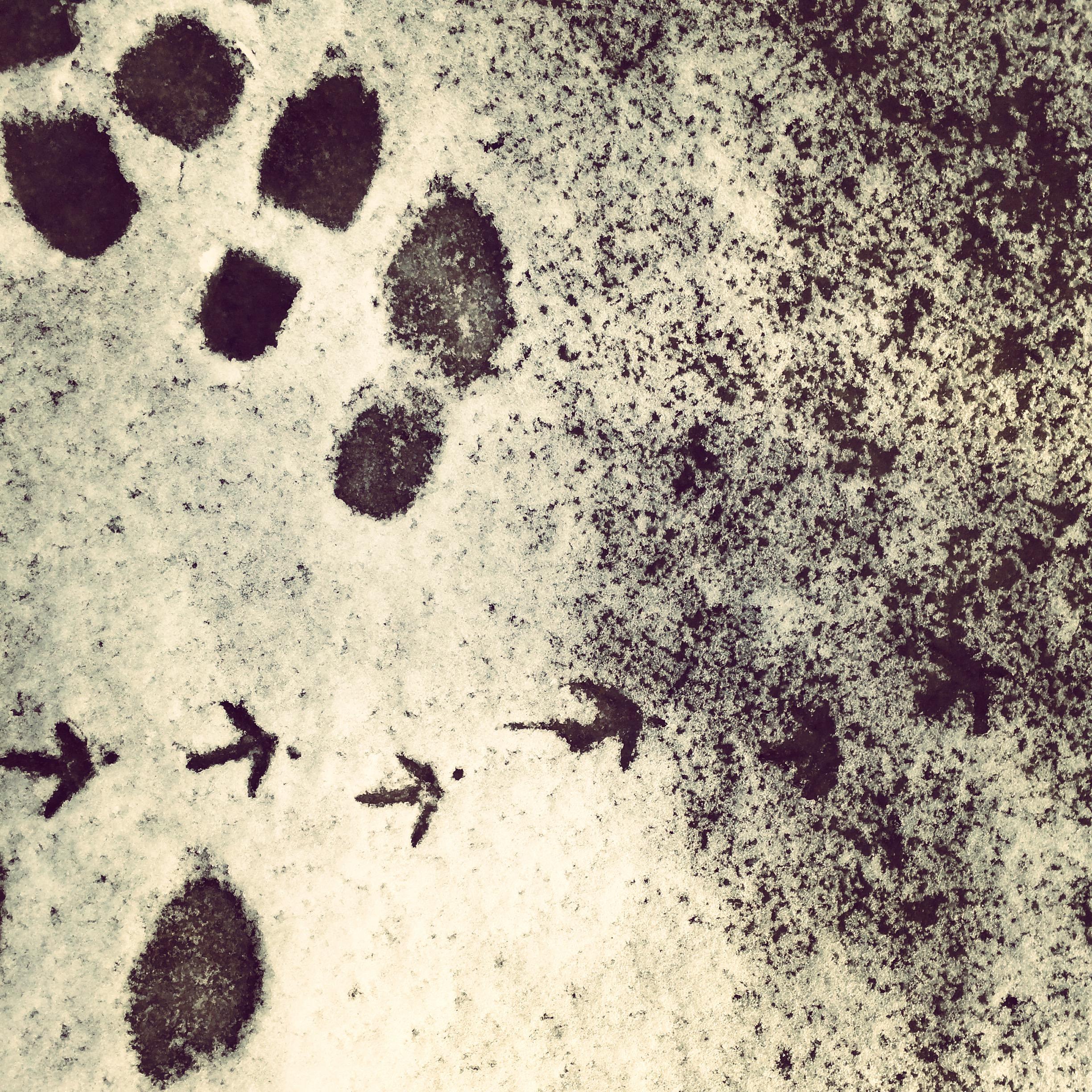 chicken tracks2.jpg