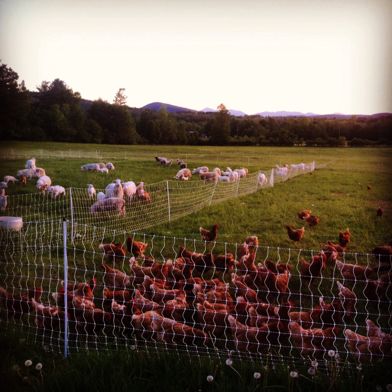 sheep and chickens on pasture.JPG