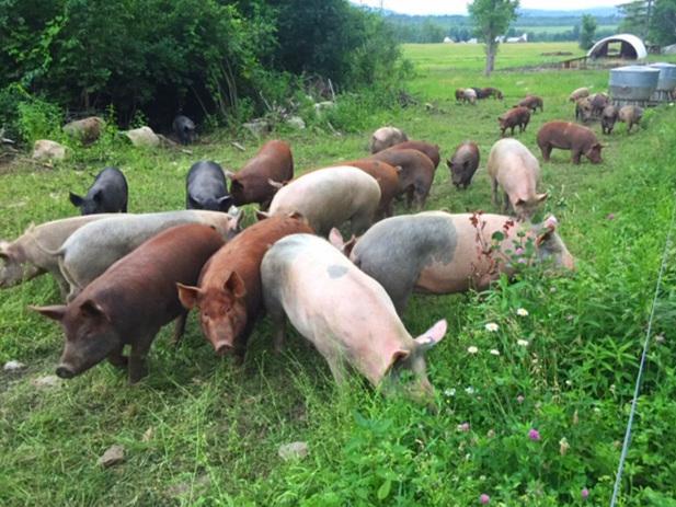 pigs%2Bin%2Bwoods.jpg