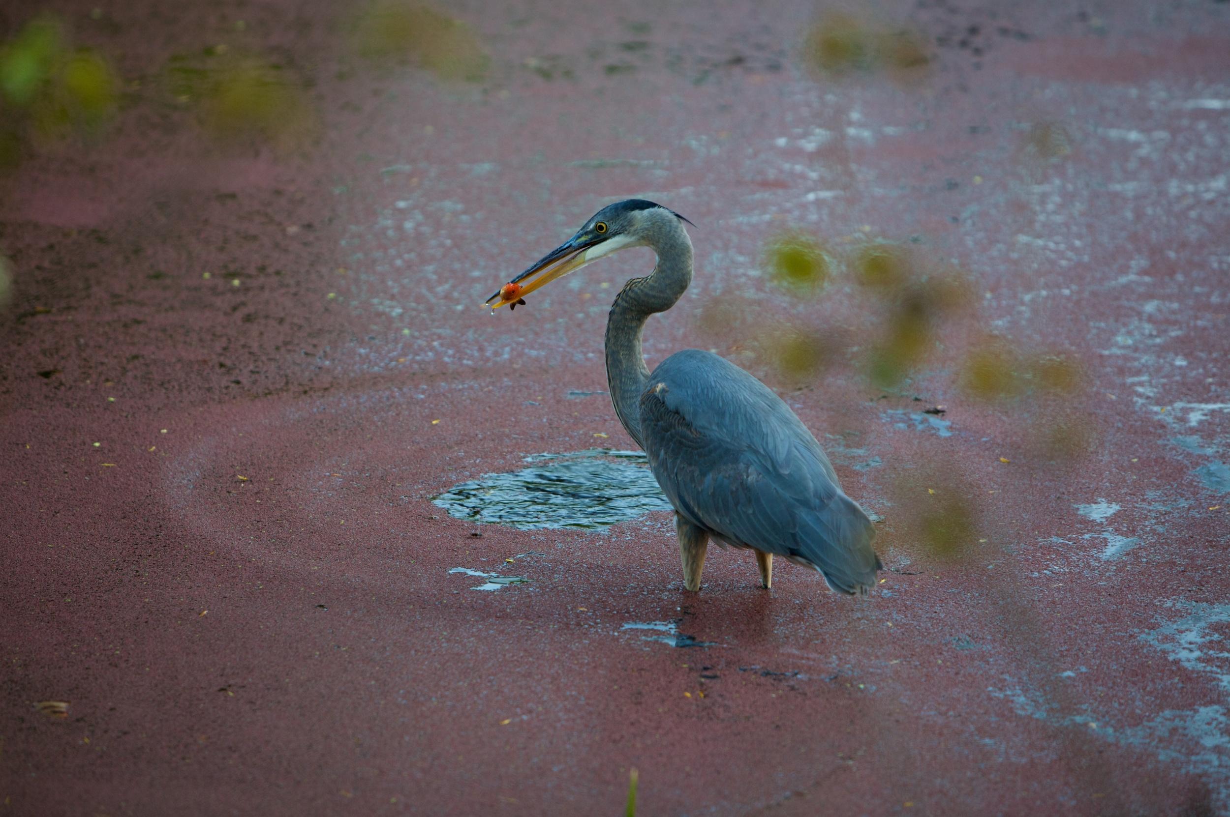 Blue Heron 09-0419-59 of 74 - Version 2.jpg