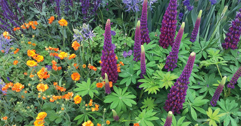 Lupin  Masterpiece , Salvia  Caradonna  and the orange Geum