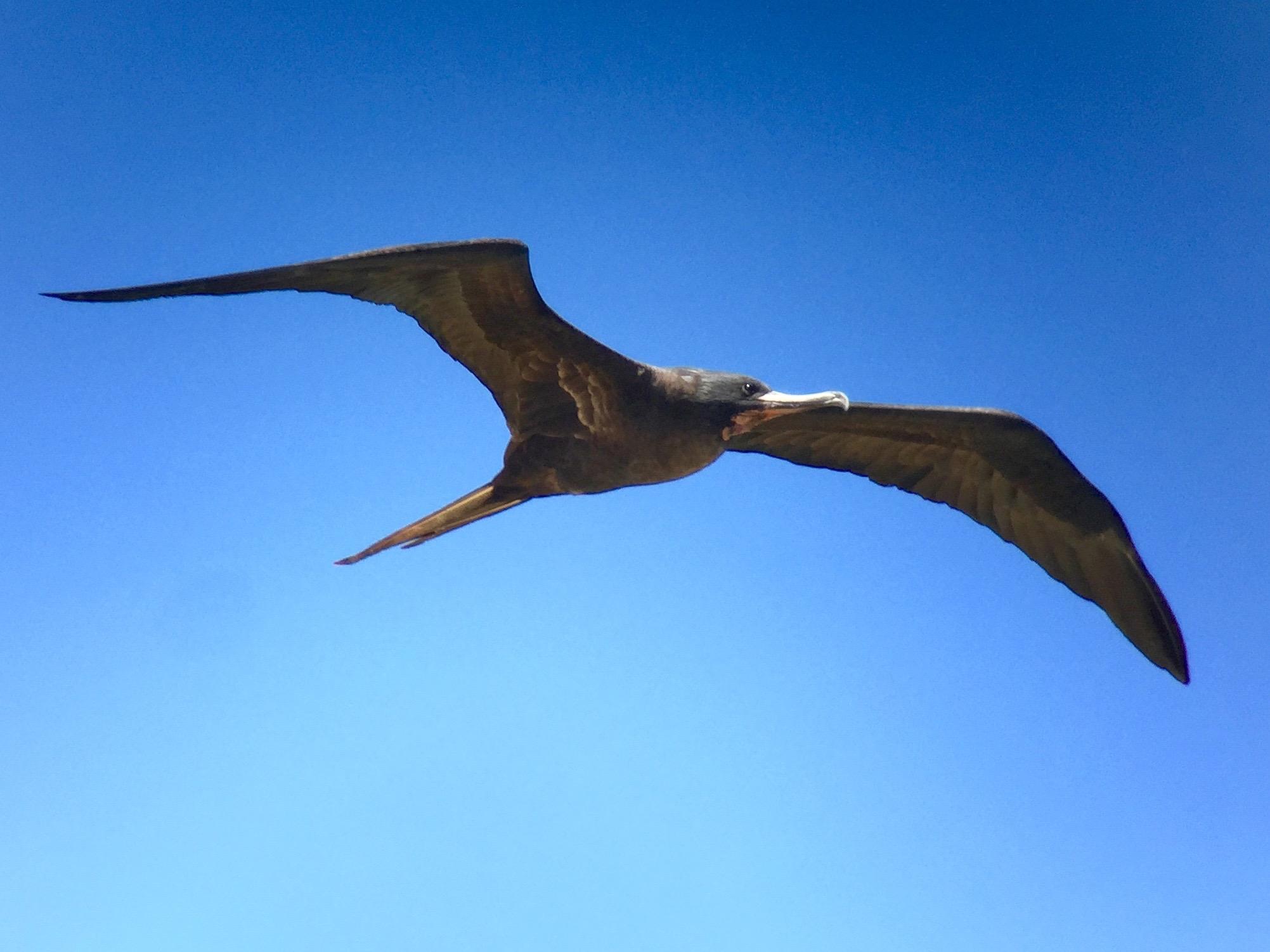 The Iwa bird.