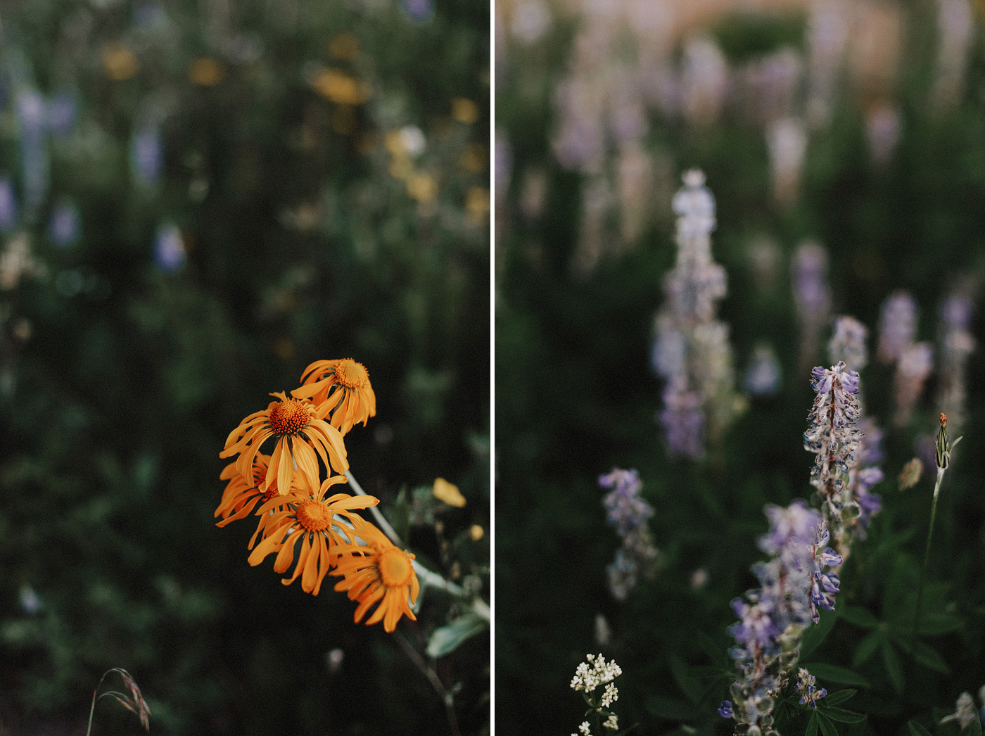 diptych flowers rocky mountains wildflowers
